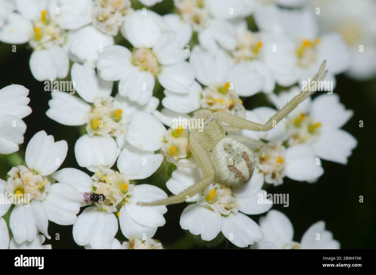 Crab Spider, Mecaphesa sp., lurking on yarrow, Achillea millefolium Stock Photo