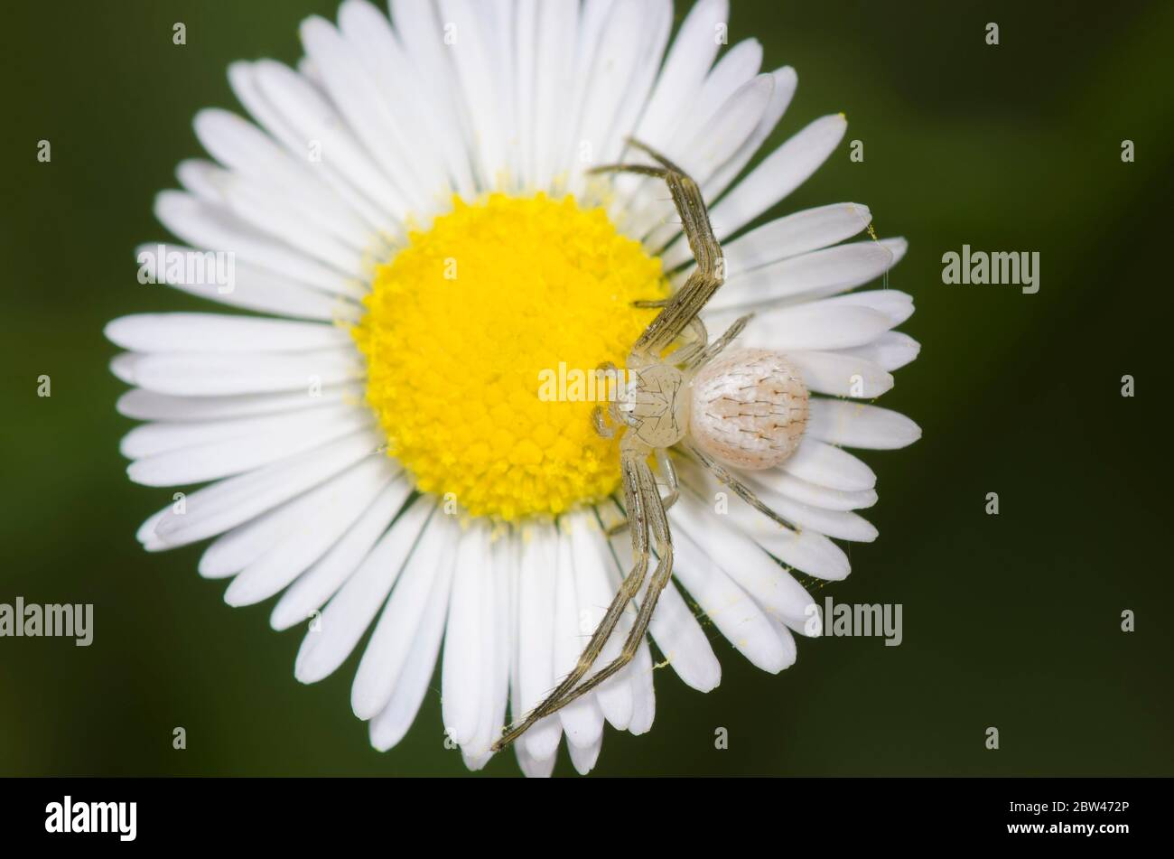 Crab Spider, Mecaphesa sp., lurking on Fleabane, Erigeron sp. Stock Photo
