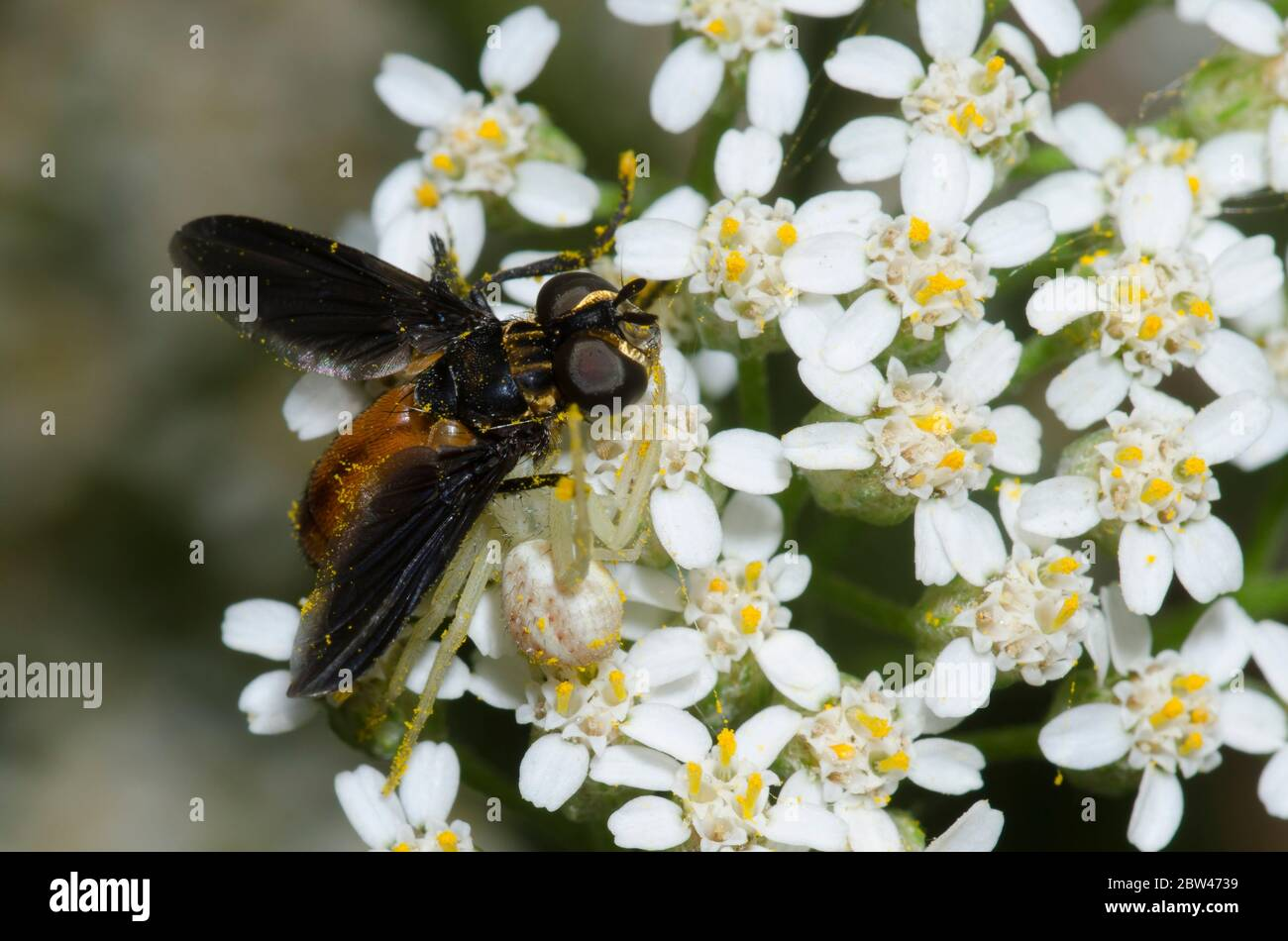 Crab Spider, Mecaphesa sp., with Feather-legged Fly, Trichopoda sp., prey on yarrow, Achillea millefolium Stock Photo