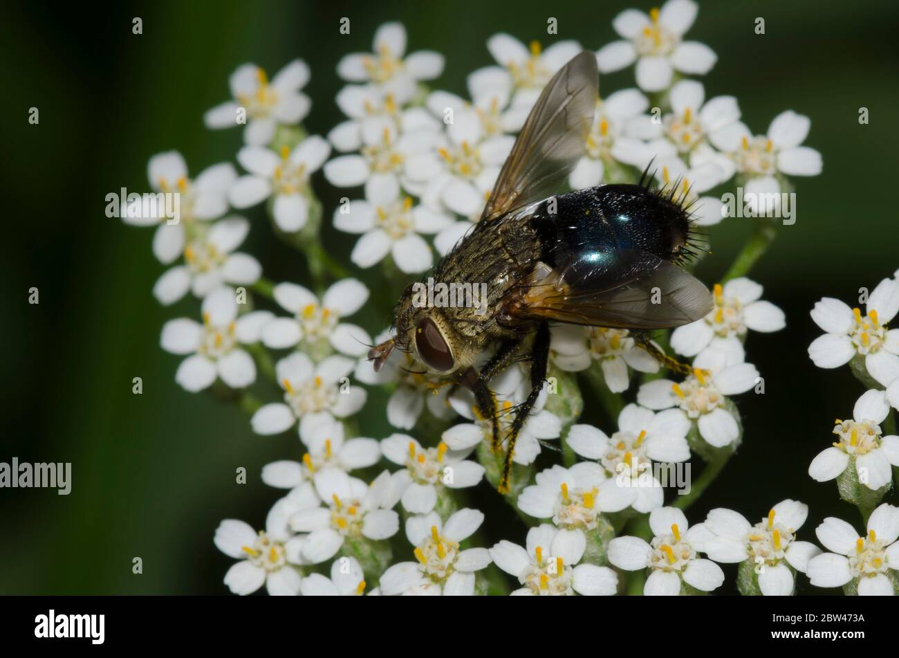 Tachinid Fly, Archytas sp., foraging on yarrow, Achillea millefolium Stock Photo