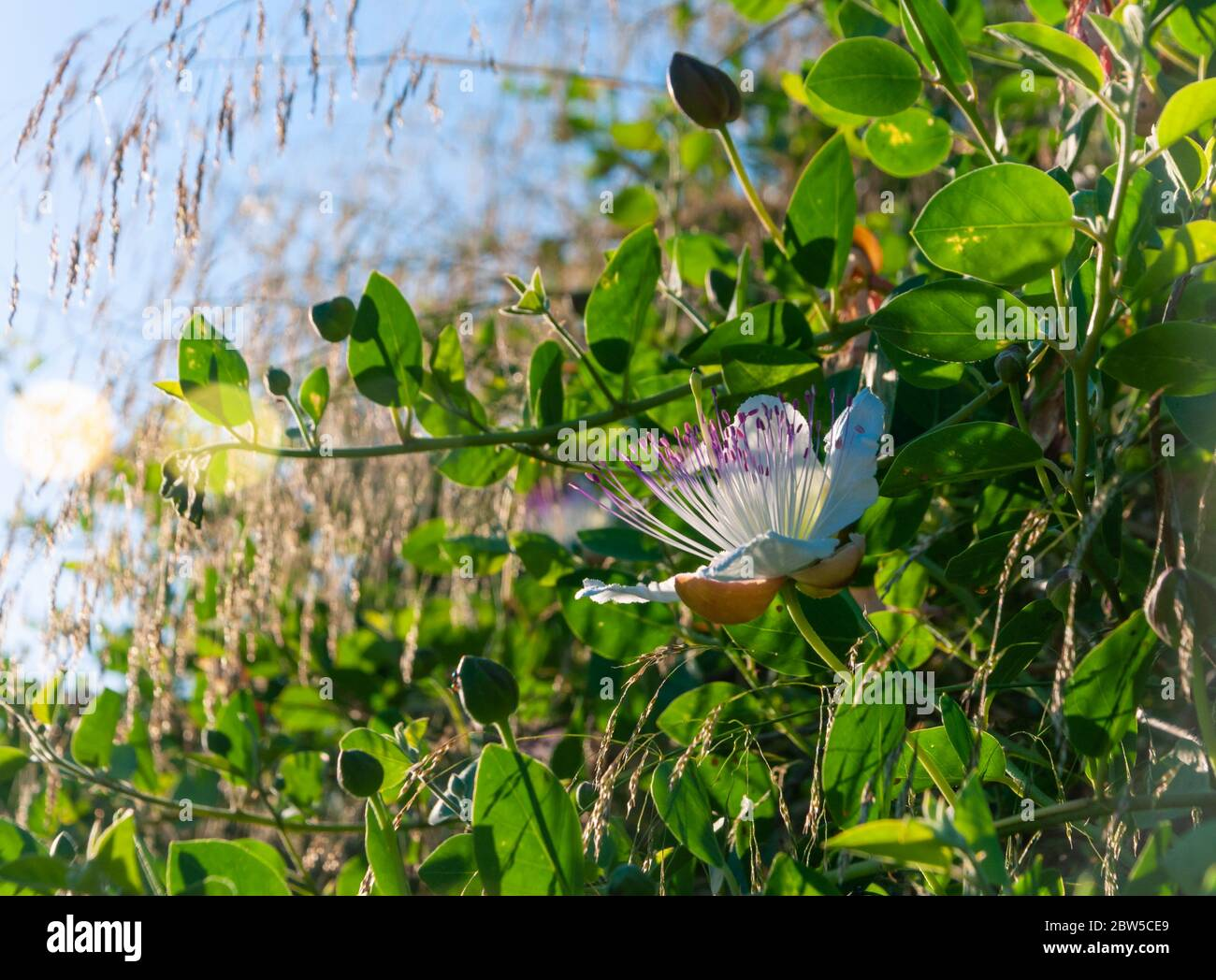 Caper Plant High Resolution Stock Photography And Images Alamy,Summer Drinks With Vodka