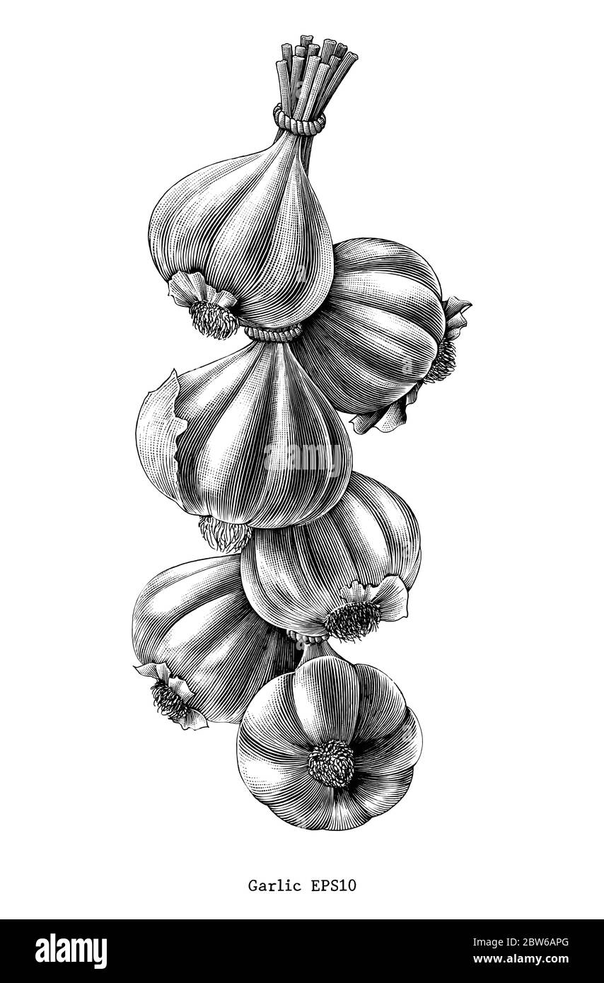 Antique engraving illustration of garlic hand draw black and white clip art isolated on white background Stock Vector