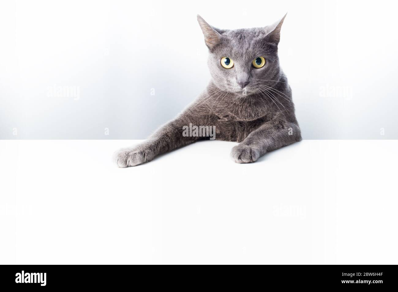 The expression and gesture of a Russian blue cat that can be used as a banner. a cat portrait. Stock Photo