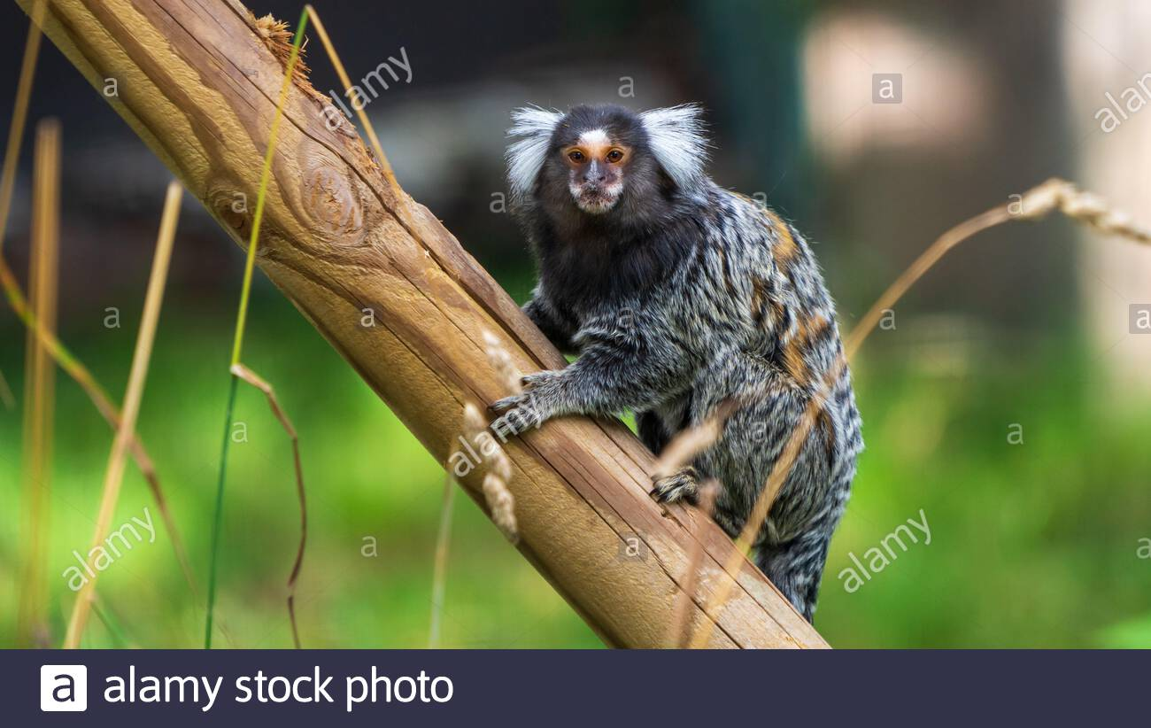 Common Marmoset Portrait High Resolution Stock Photography and Images -  Alamy