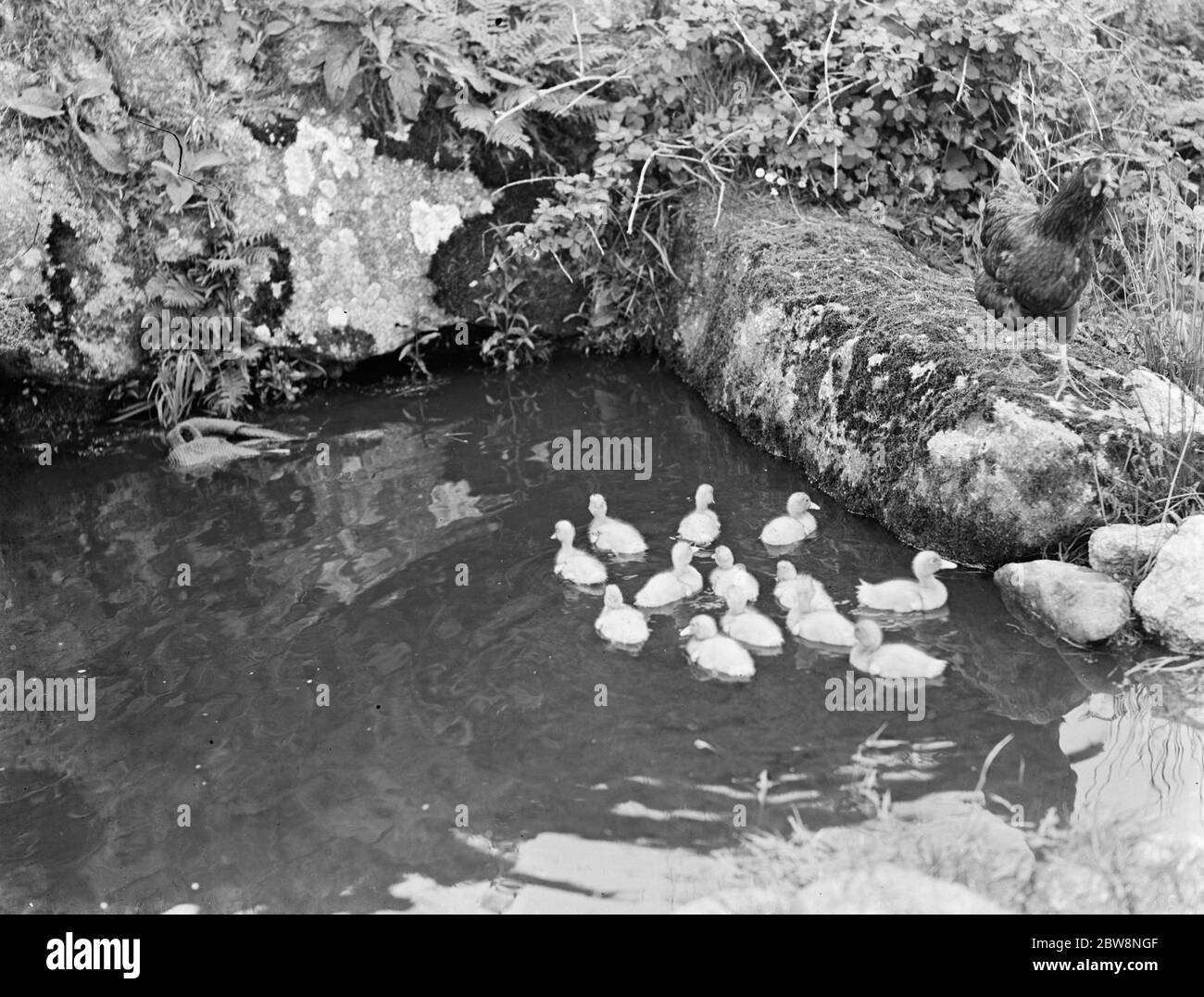 Duckilings having a swim watched over by a chicken Stock Photo