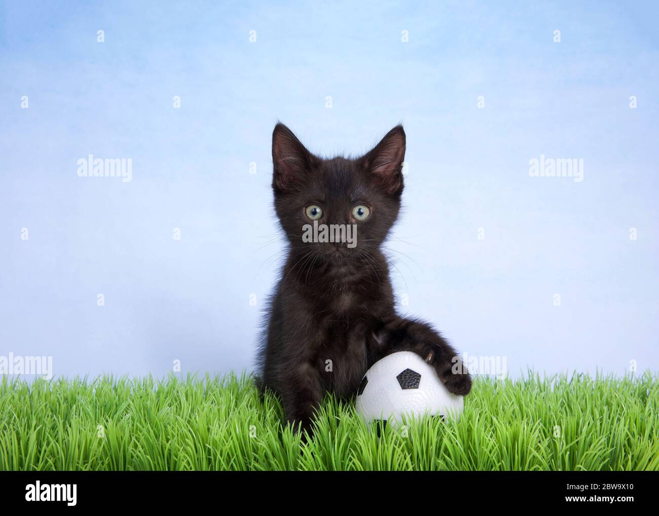 Adorable black kitten sitting in green grass with paw on a soccer ball,  also known as a football. Fun animal sports theme Stock Photo - Alamy