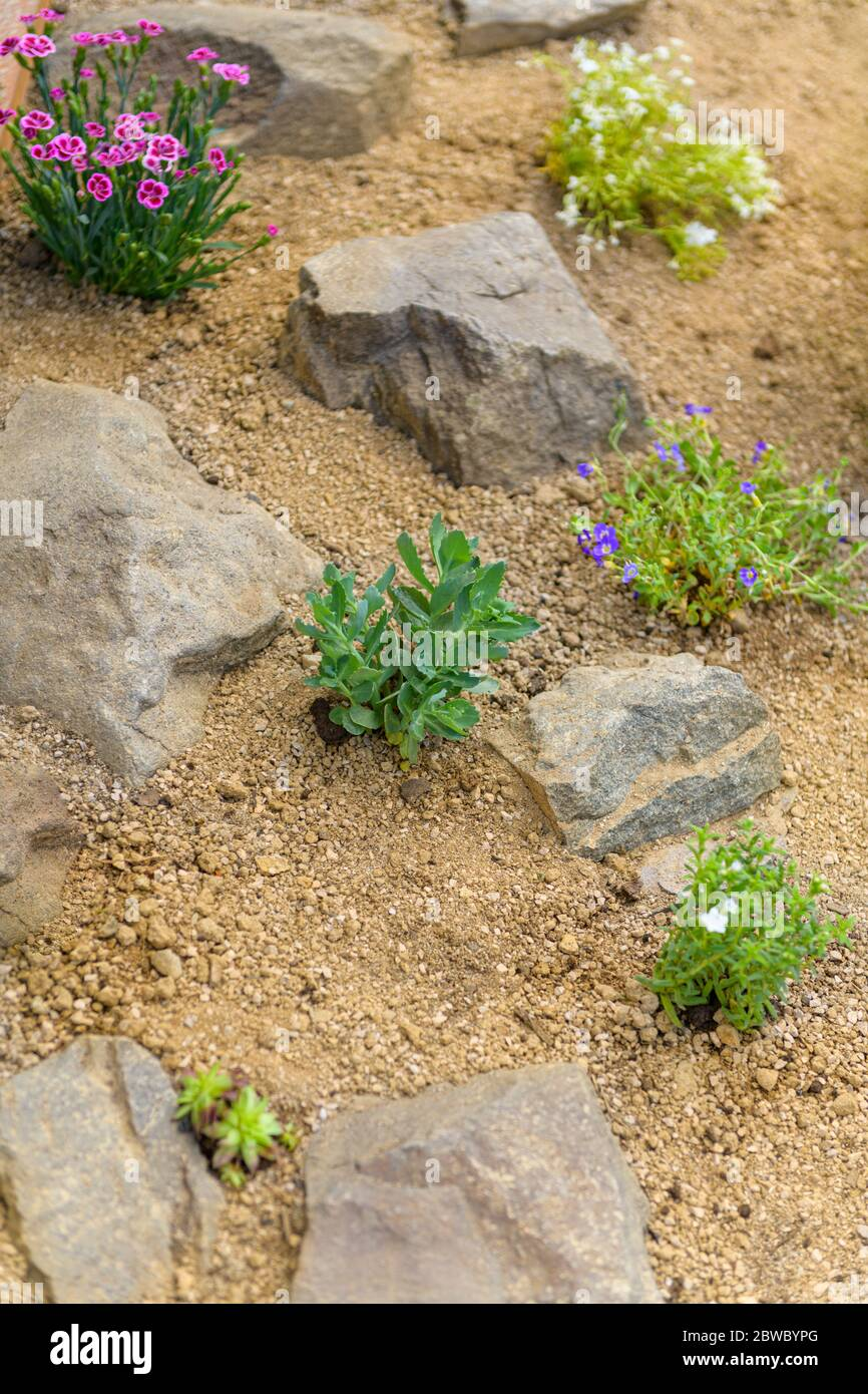 Newly Planted Rockery Garden Rock Garden Background With Sedum Dianthus Phlox And Succulent Rossete Flowers Stock Photo Alamy