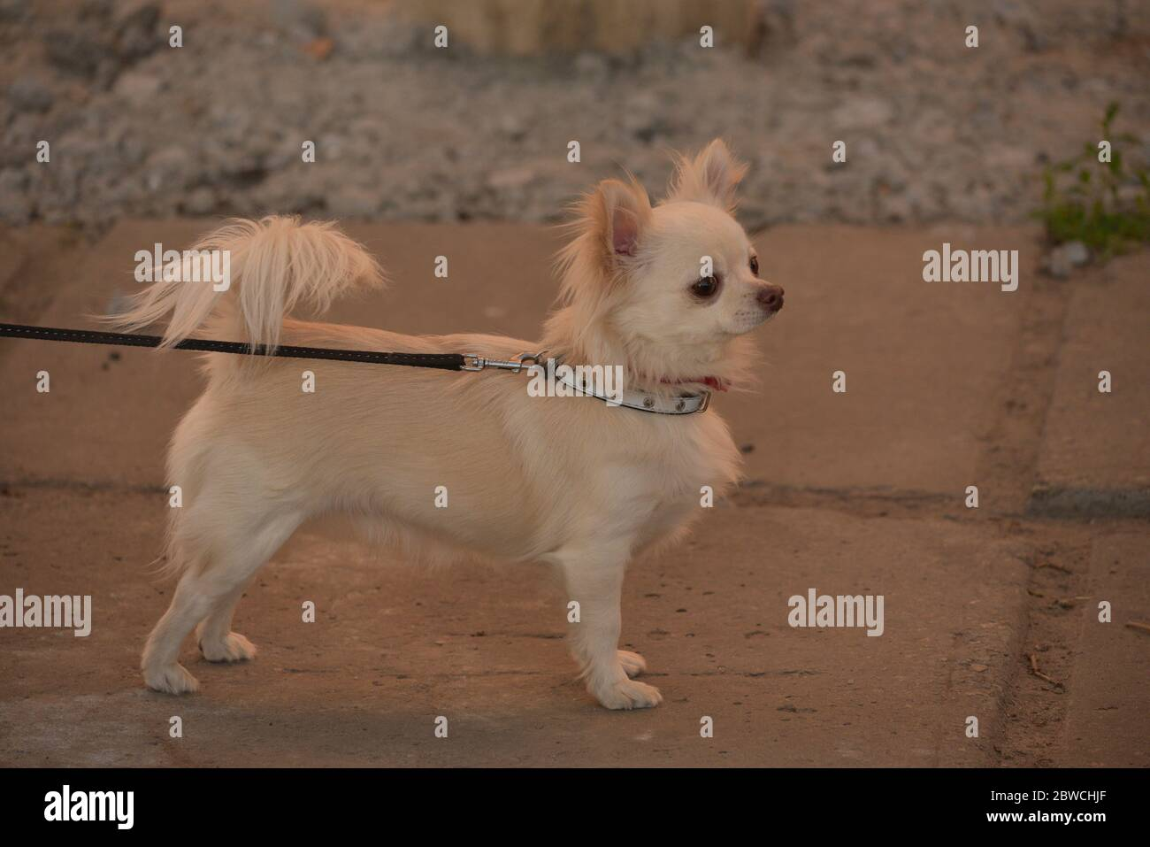 Chihuahua longhaired dog portrait. Beautiful white long-haired chihuahua breed dog walks in tall green grass. Stock Photo