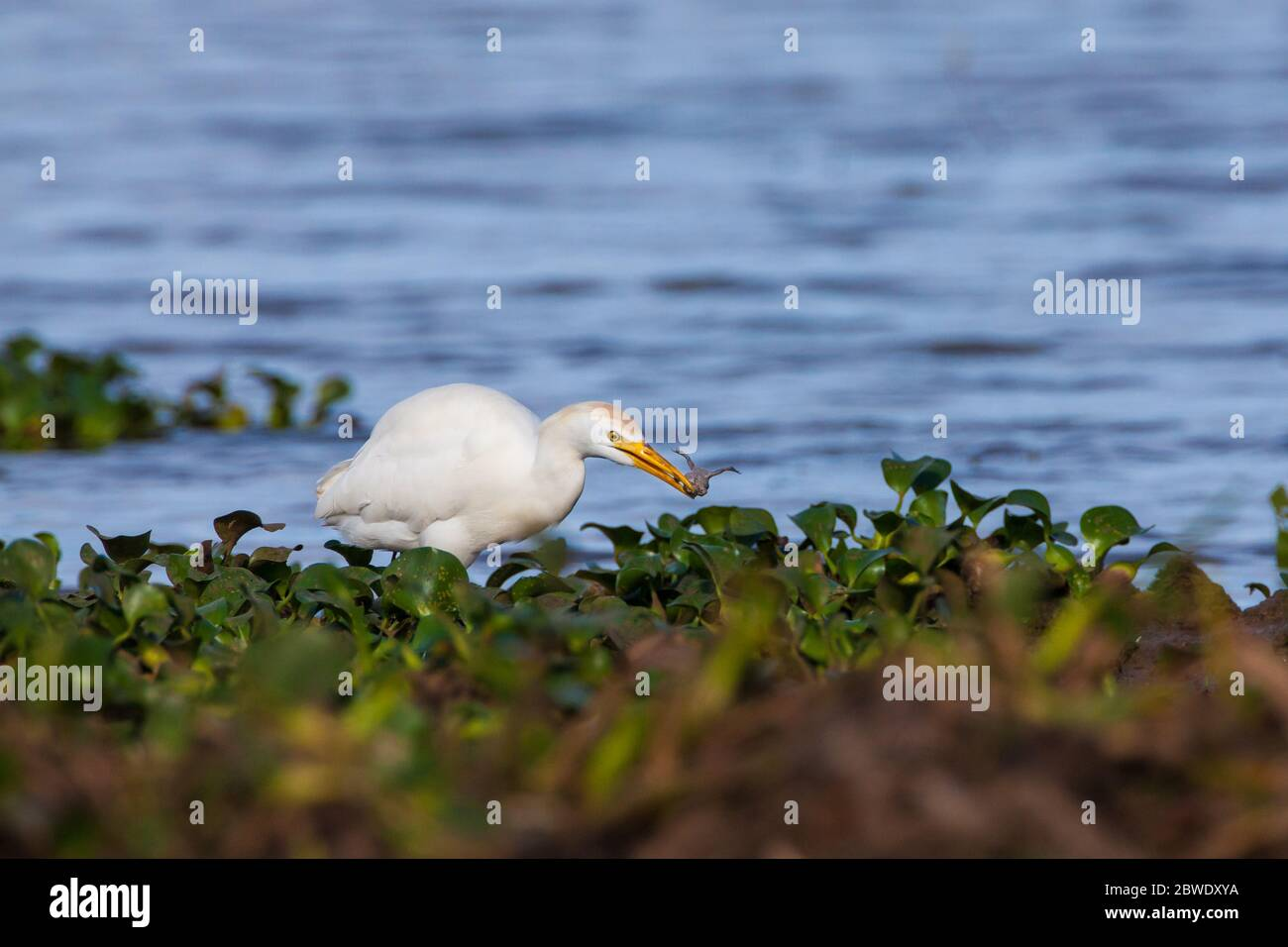 Cattle Egret, Bubulcus ibis, with a frog at the lakeside of Refugio de la vida silvestre Cienaga de las Macanas, Herrera province, Republic of Panama. Stock Photo