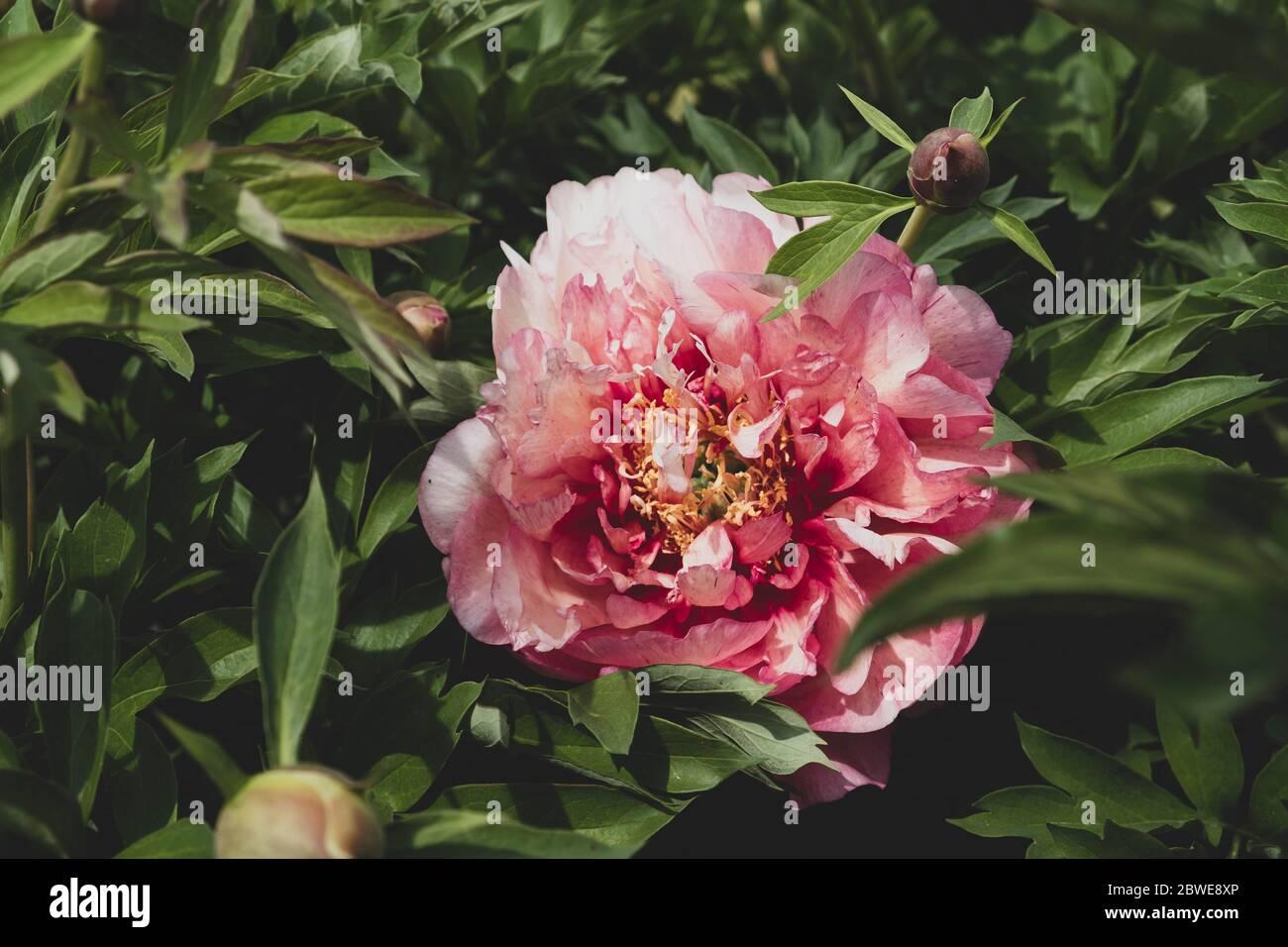 Beautiful fresh peony flower in full bloom in the garden. Stock Photo