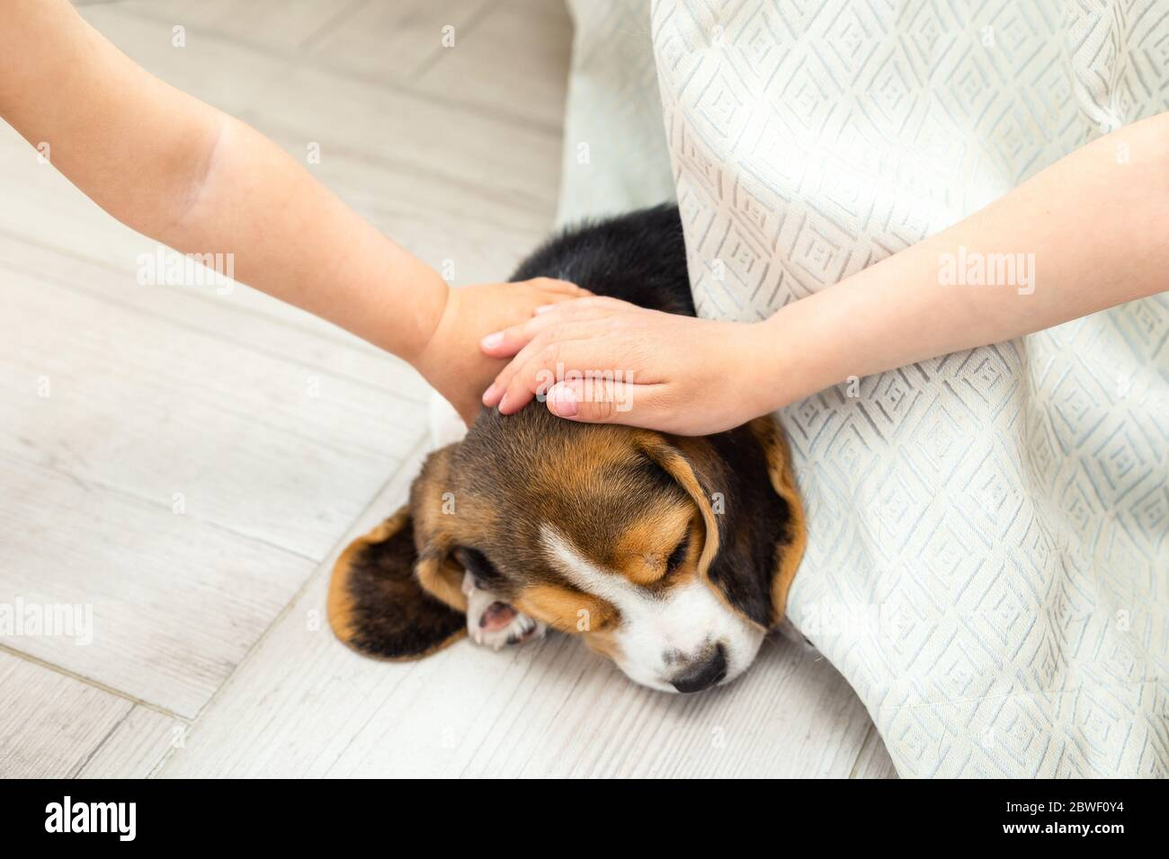 Beagle Puppy Sleeps Baby Hands Stroking Him Life Style Care Stock Photo Alamy
