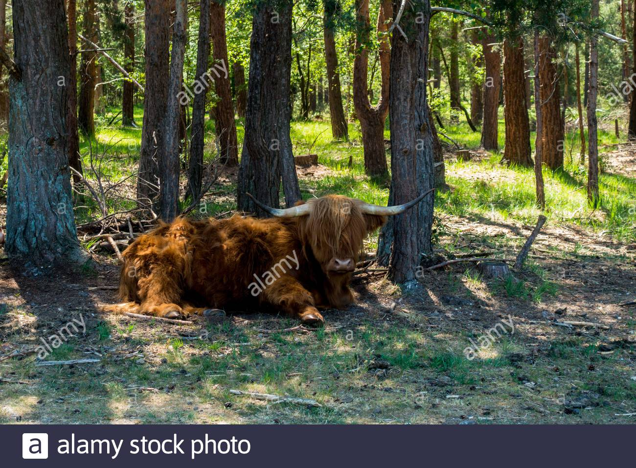 1st June 2020, as the heatwave continues in Southern England, a highland steer, still retaining its winter coat, cools down in the shade of pine trees Stock Photo