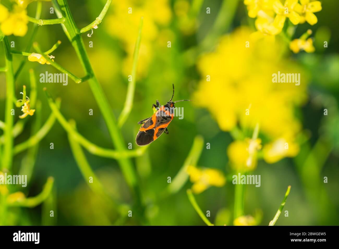 Eastern Small Milkweed Bug on Winter Cress Stock Photo