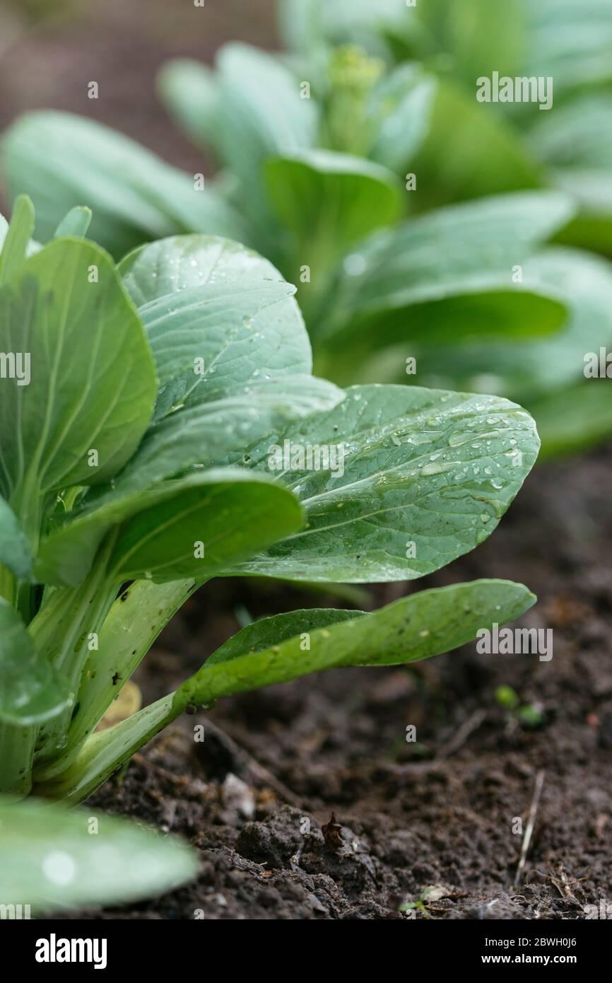 Bok choy plant in a vegetable garden. Stock Photo