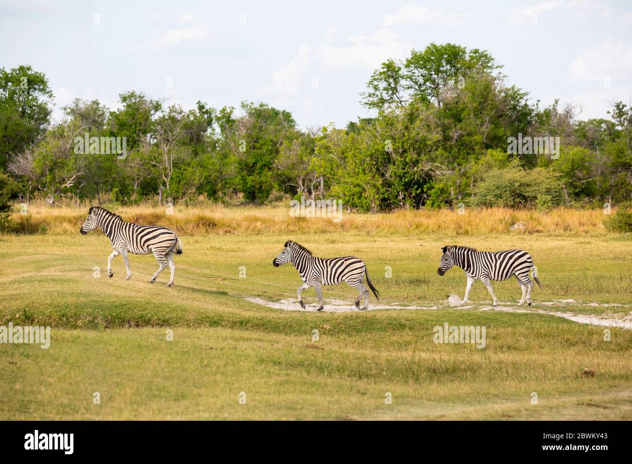 A group of Burchell's zebra at a game reserve Stock Photo