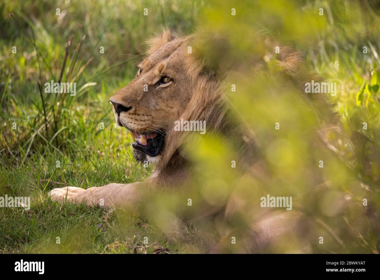 A large male lion, Panthera leo, resting. Stock Photo