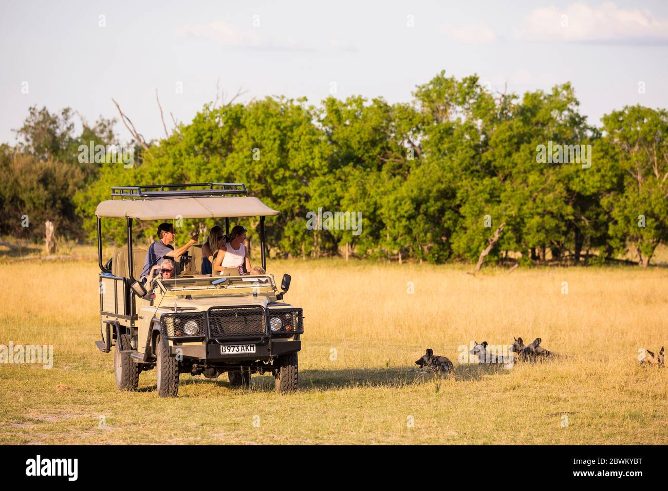 A safari jeep, passengers observing wild dogs, Lycaon pictus Stock Photo