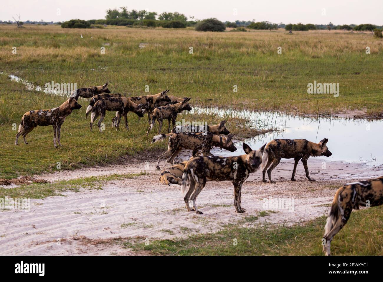 Pack of wild dogs, Lycaon pictus at a waterhole in a game reserve. Stock Photo