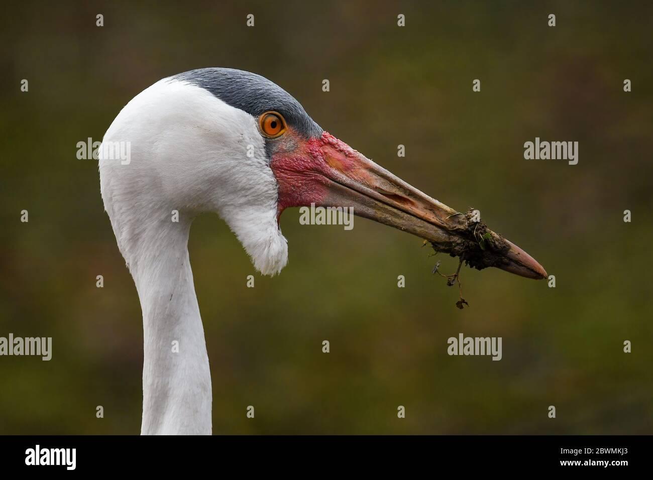 Wattled Crane - Bugeranus carunculatus, portrait of large crane from African savannas and swamps, Ethiopia. Stock Photo