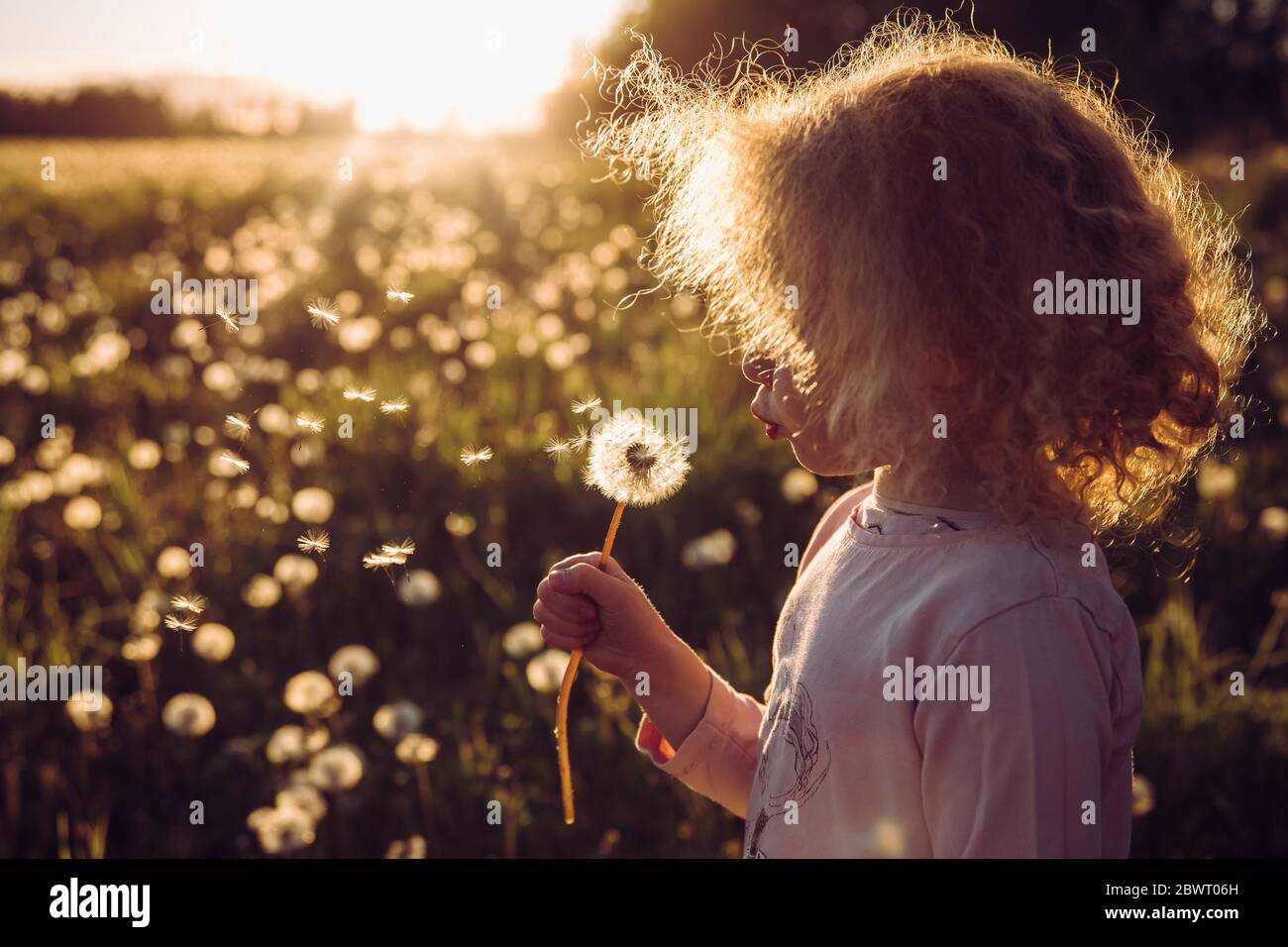 Selective focus cute blonde curly hair girl blowing blossomed dandelion flower head, seedlings fly away, positive bright sunset in rural countryside. Stock Photo