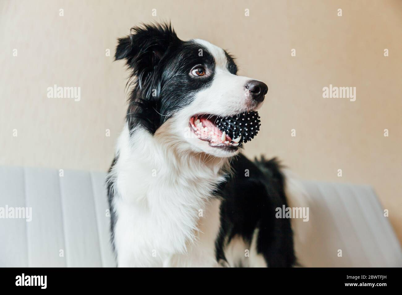 Funny Portrait Of Cute Smiling Puppy Dog Border Collie Playing With Toy Ball On Couch Indoors