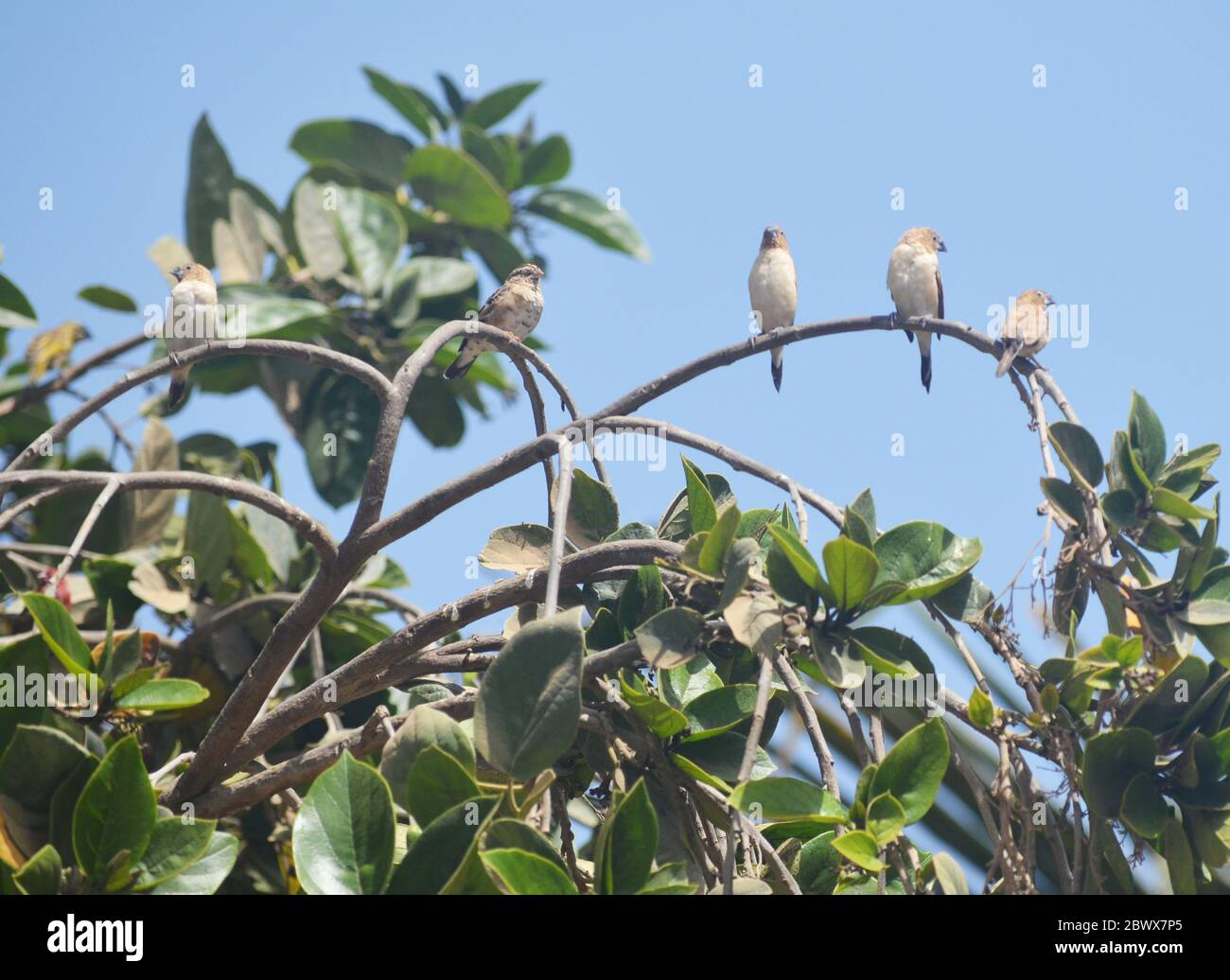 Gregarious juveniles of Red-billed firefinch (Lagonosticta senegala) perched on a tree branch in a urban garden of Dakar, Senegal Stock Photo