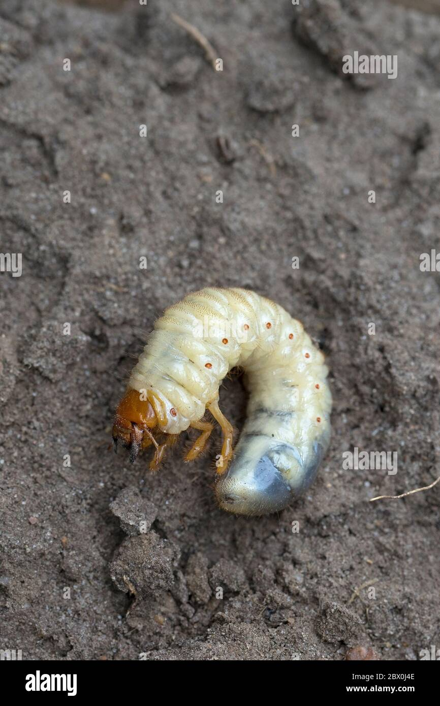 Common Cockchafer (Melolontha melolontha) Stock Photo