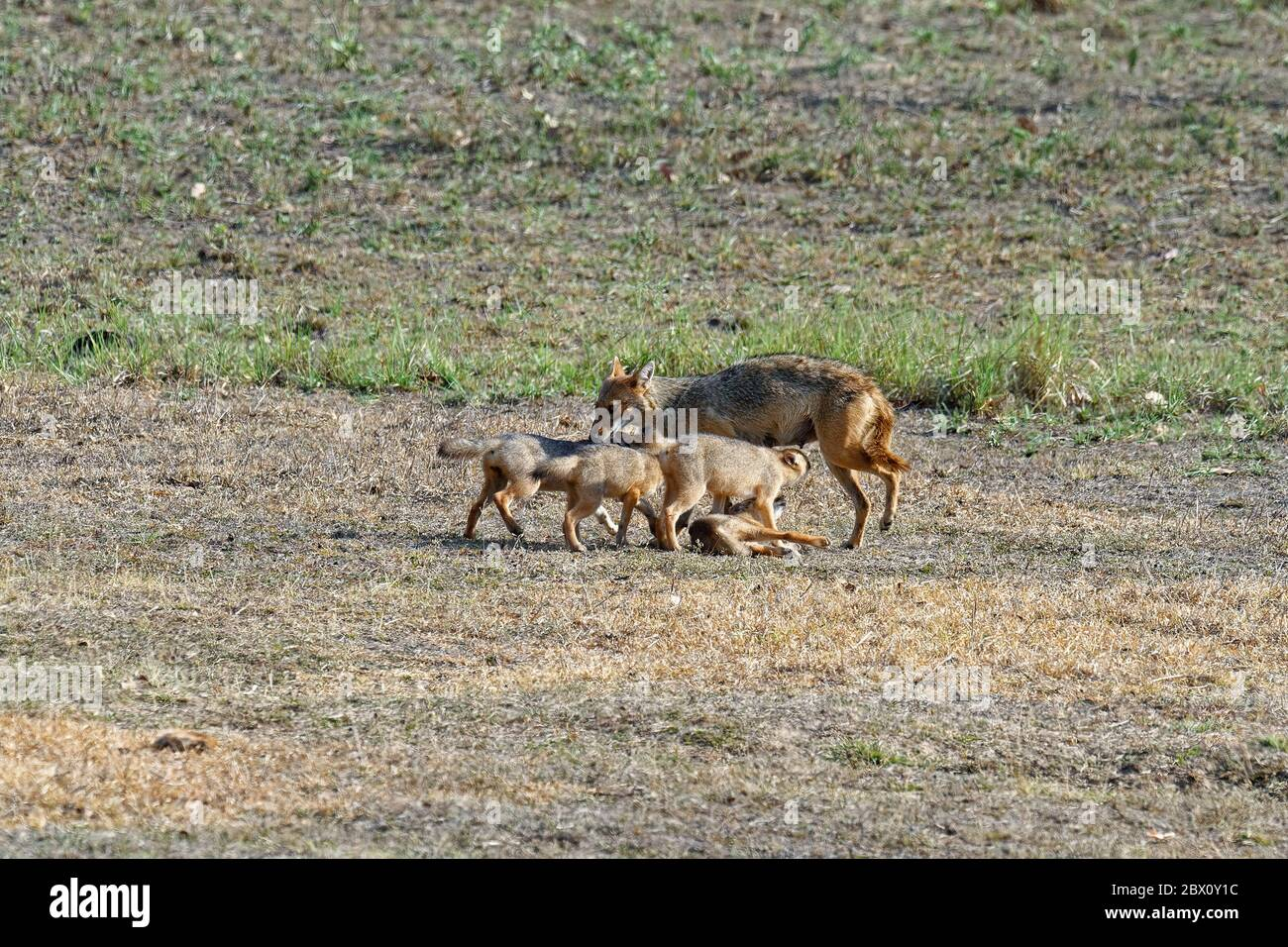 Female Indian jackal (Canis aureus) feeding and playing with her cubs, Kanha Tiger Reserve or Kanha-Kisli National Park, Madhya Pradesh state, India Stock Photo