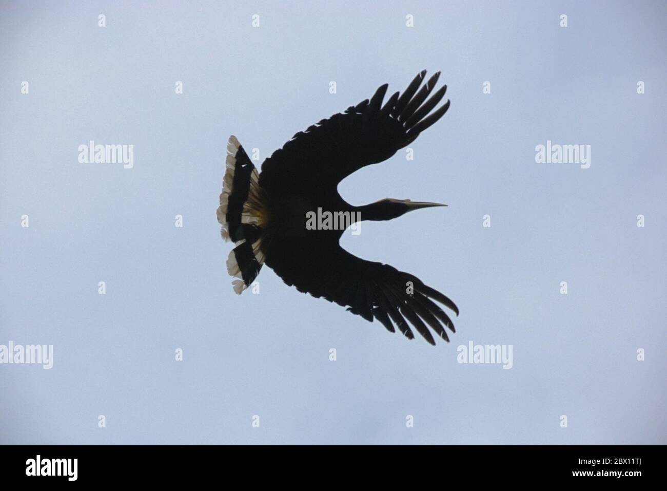 Rhinoceros Hornbill Flying High Resolution Stock Photography And Images Alamy