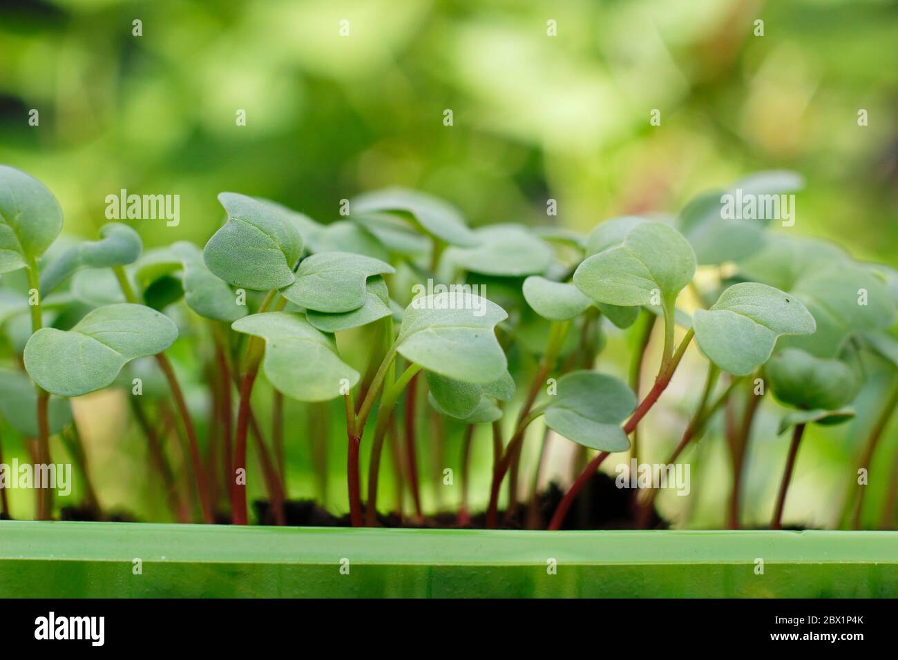 Raphanus sativus 'French Breakfast' seedlings growing in a recycled plastic food container Stock Photo