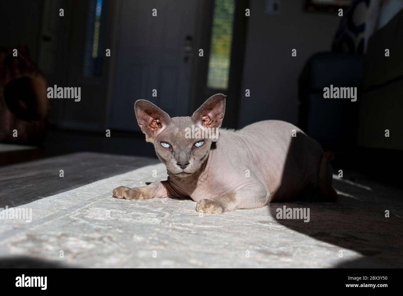 A pedigreed hairless Sphinx cat looks at the camera in a living room of a home. Stock Photo
