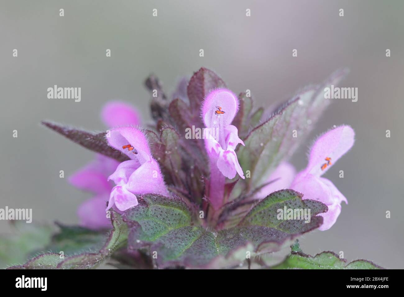 Lamium hybridum, known as Cut-leaved Dead-nettle, wild flower from Finland Stock Photo