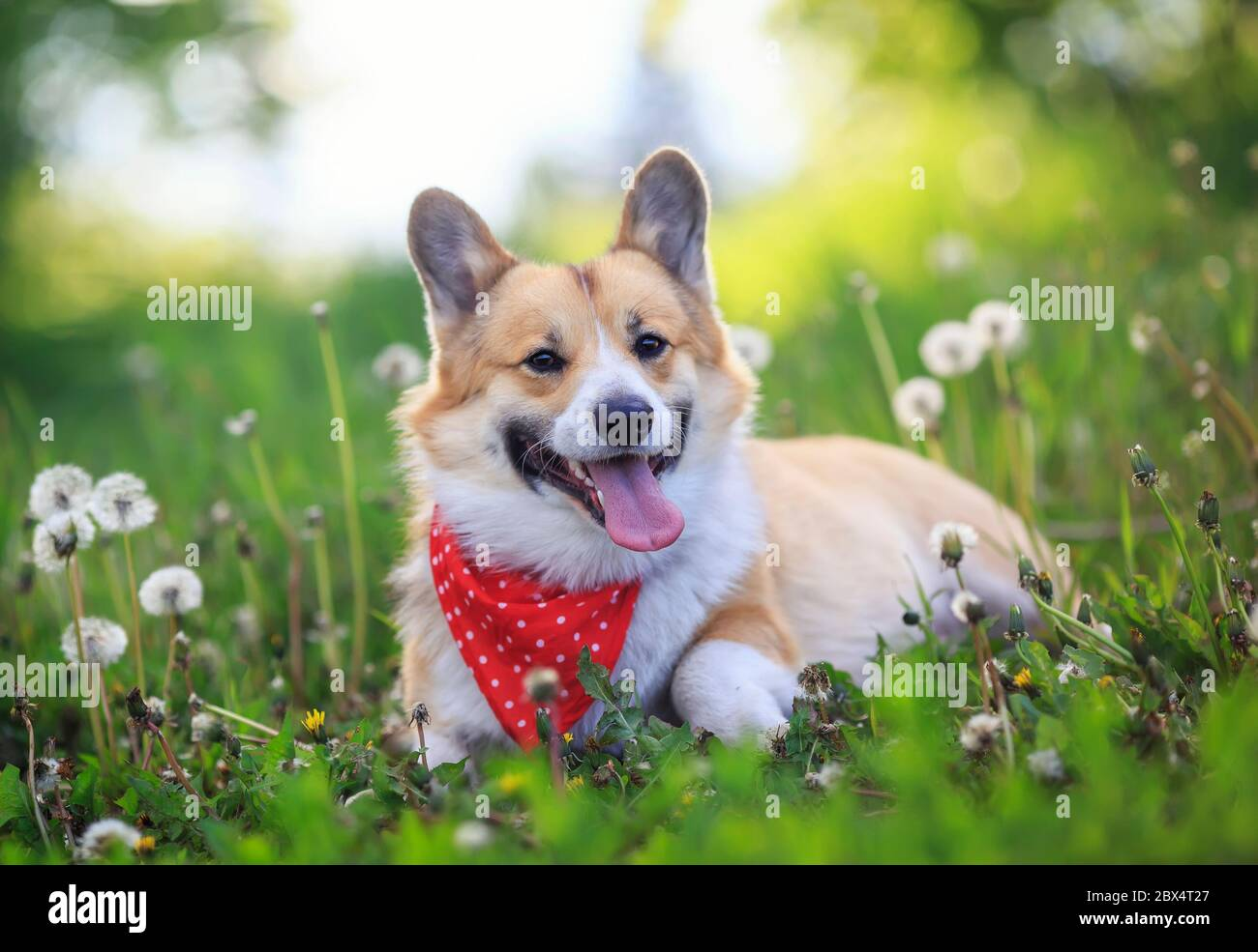 Cute Funny Corgi Dog Puppy Lies On A Blooming Meadow With White Fluffy Dandelions With Their Tongues Hanging Out Stock Photo Alamy