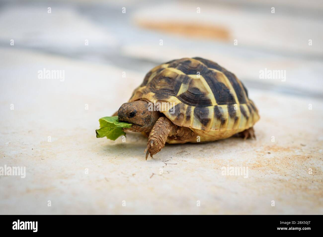 Pet Turtle Eating Lettuce Salad On Stone Paved Terrace Exotic Home Animal Is Feeding Outdoors Stock Photo Alamy