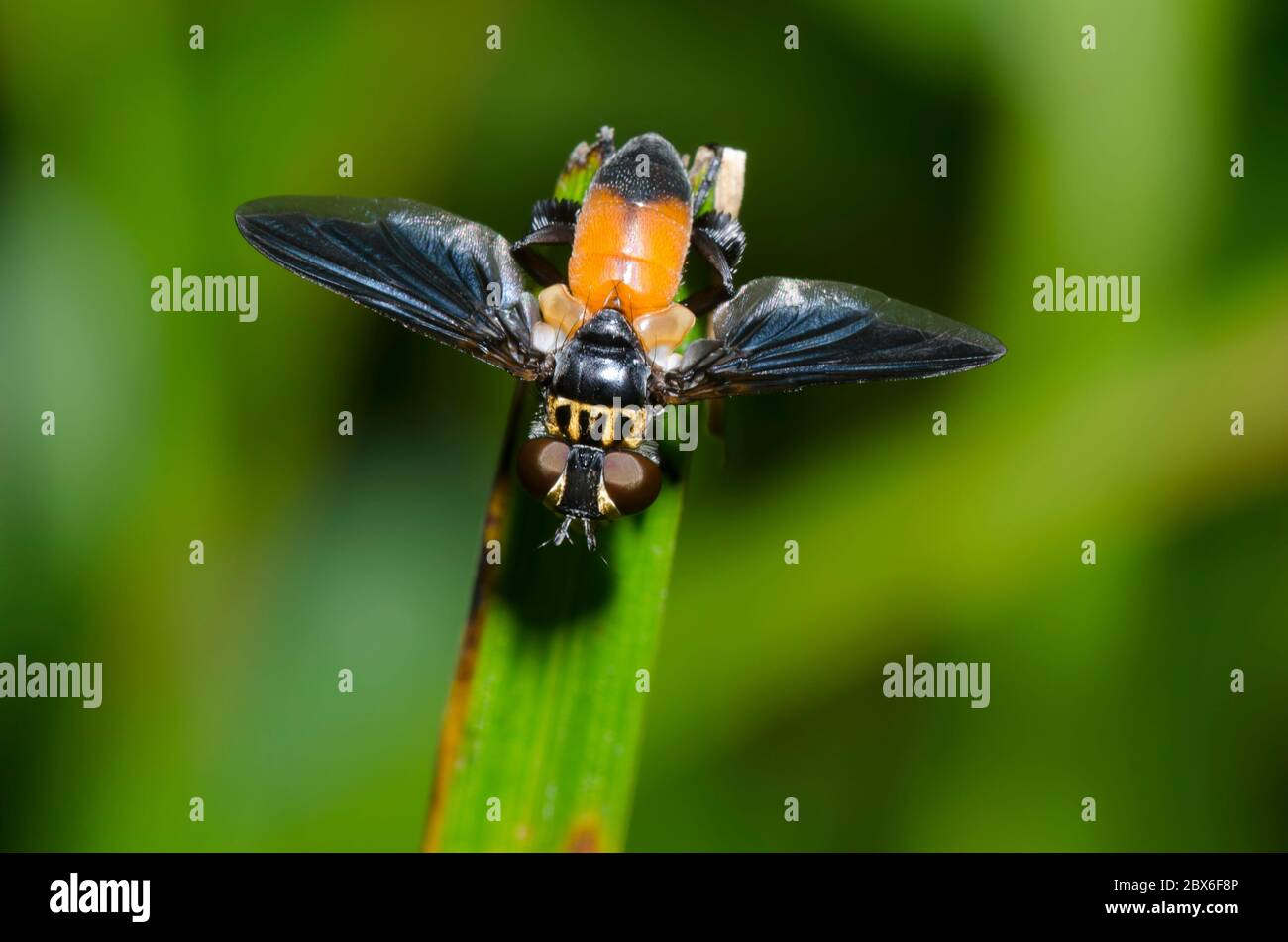Feather-legged Fly, Trichopoda sp. Stock Photo