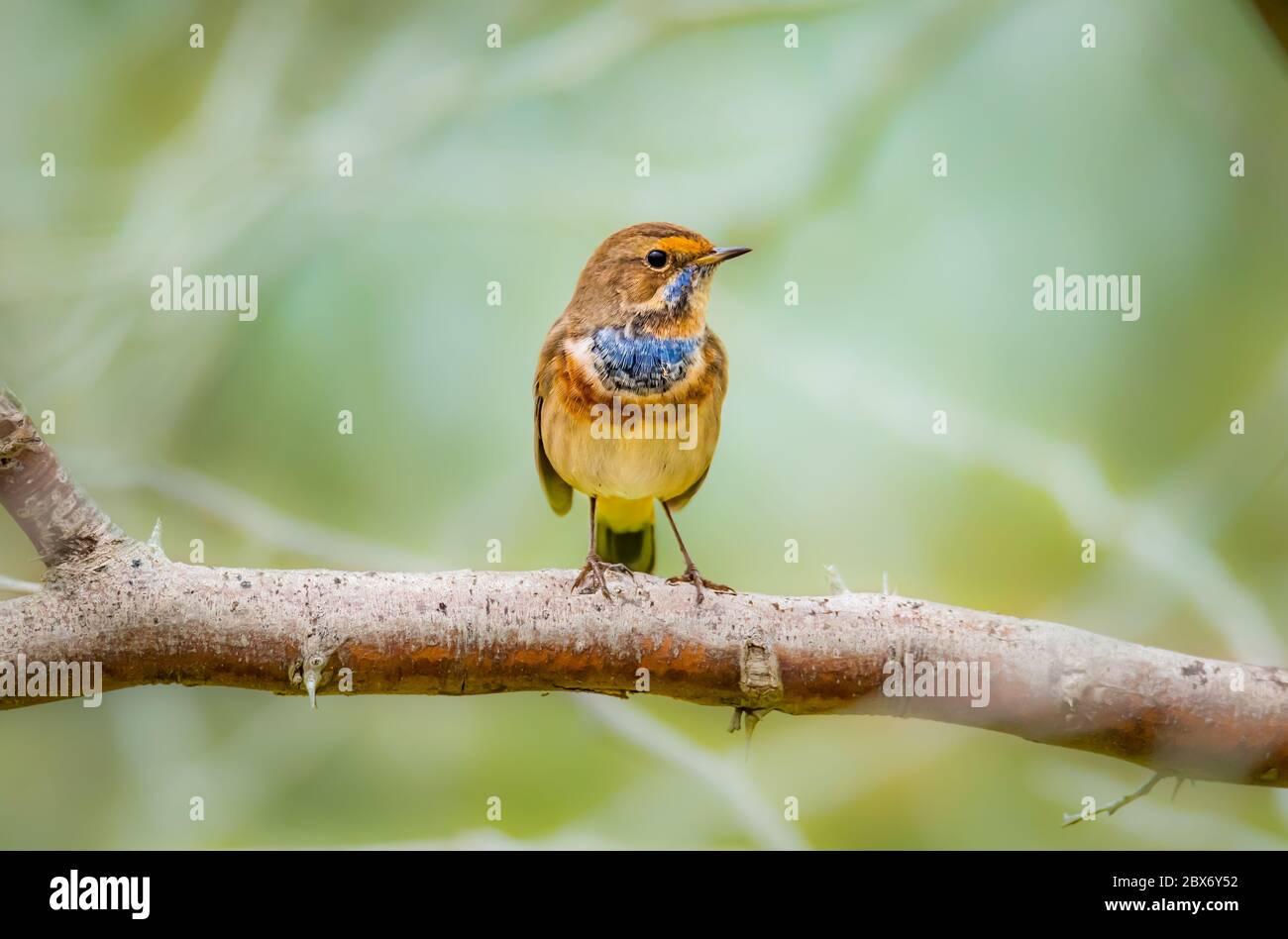 Beautiful shot of bluethroat bird a member of the thrush family Turdidae Stock Photo