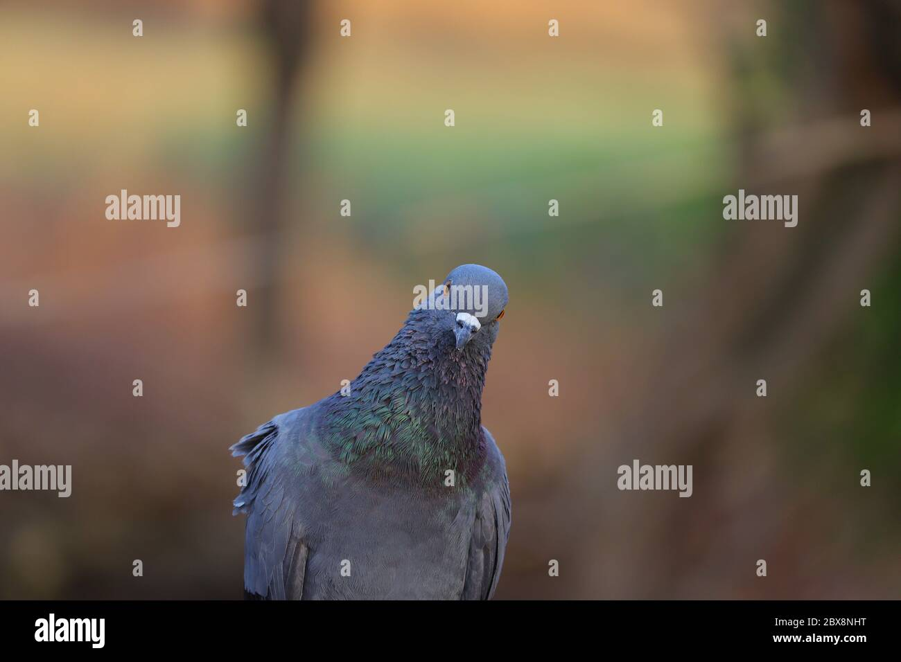 Front View Pigeon Hd Image Free Pigeon Bird Photography Stock Photo Alamy