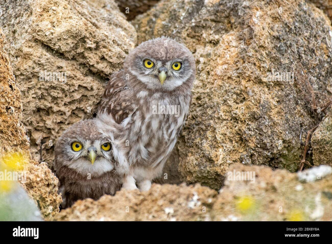 Two young Little owl, Athene noctua, peeking out of a hole in the rocks. Stock Photo