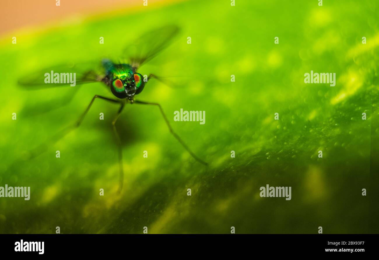 Long legged fly ( Condylostylus ) eyes focused on a leaf with blurred background. Macro shot of Long-legged flies also called as Green Mosquito. Stock Photo