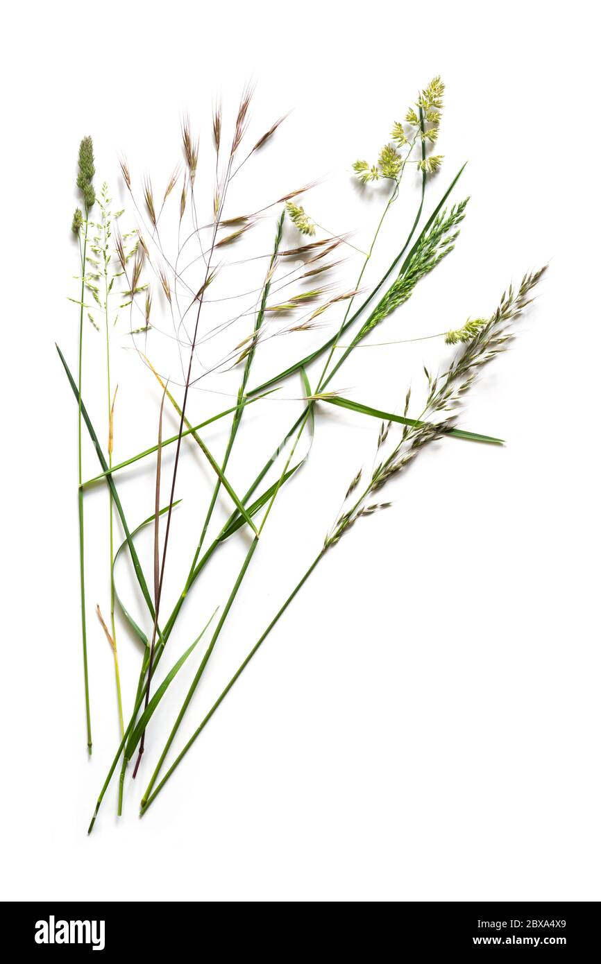 Arrangement with different wild grasses, like dactylis, brome and ryegrass isolated on a white background with copy space Stock Photo
