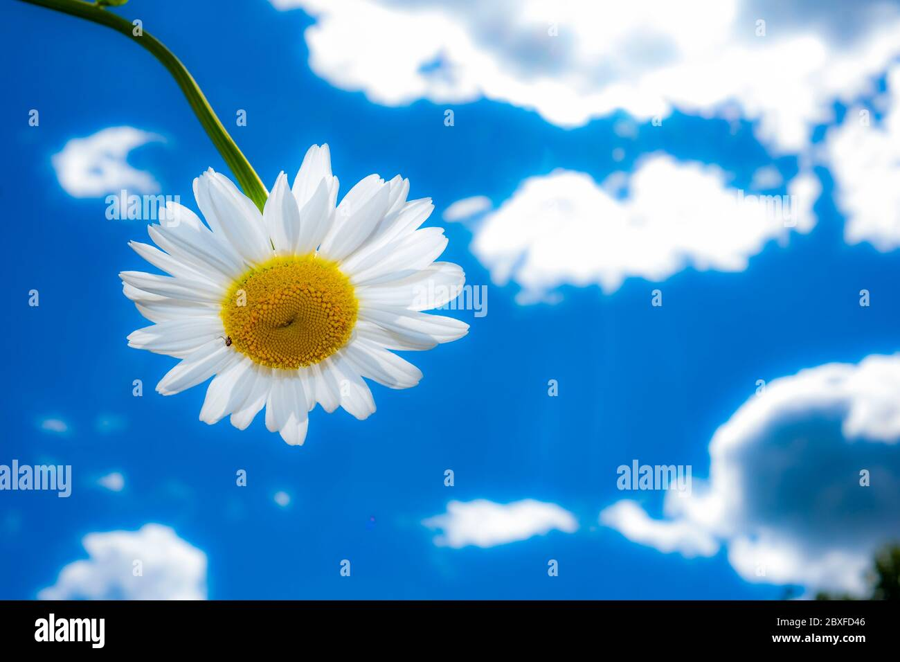 Oxeye Daisies with blue background Stock Photo
