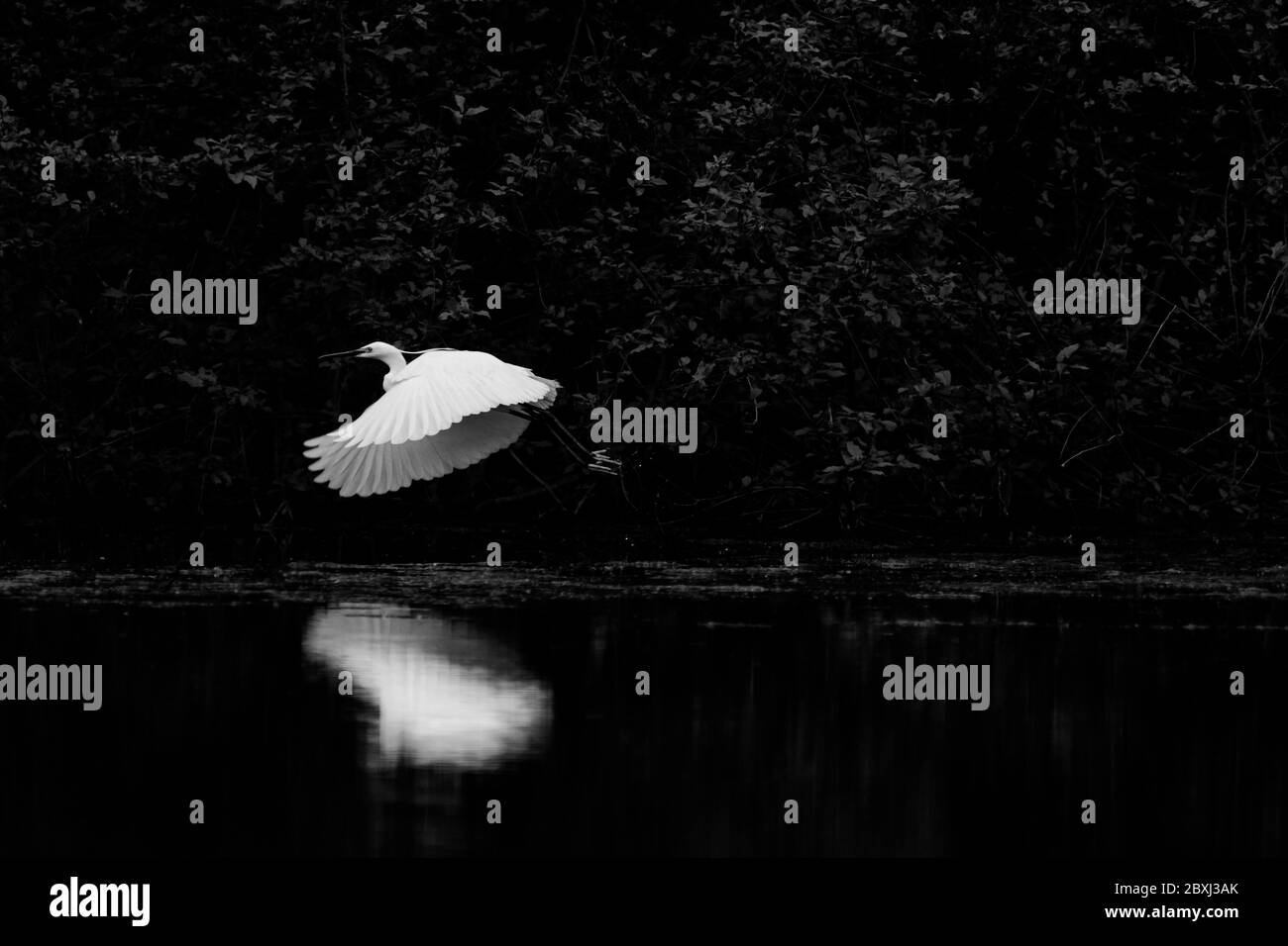 Reflections of bird wings on the water Stock Photo
