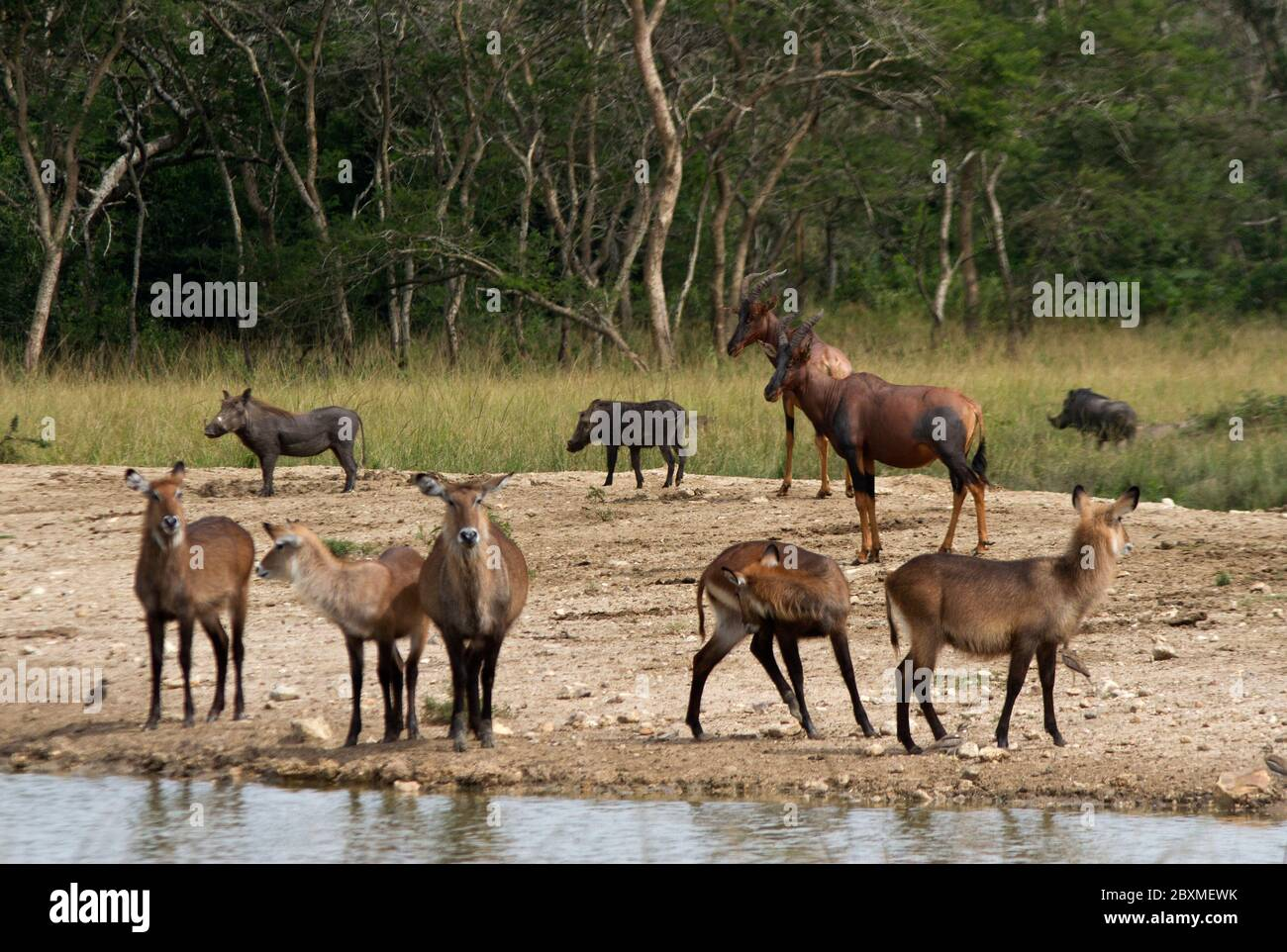 A mixture of species gather at a waterhole in Lake Mburo National Park. Various herbivores can mix at drinking spots with little intra-specific action Stock Photo