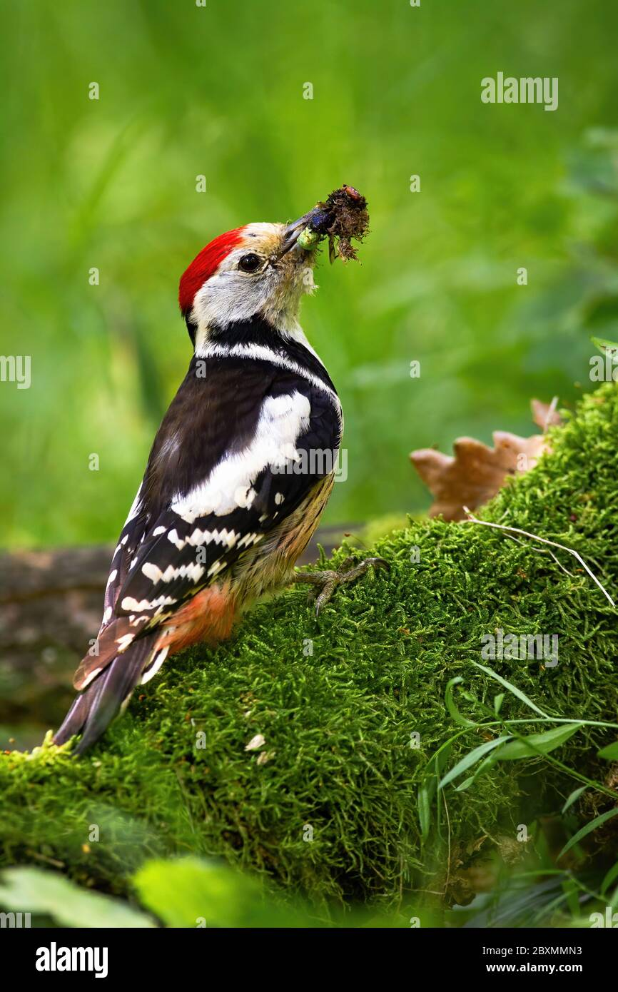 Middle spotted woodpecker with beak full of insects sitting on a stump Stock Photo