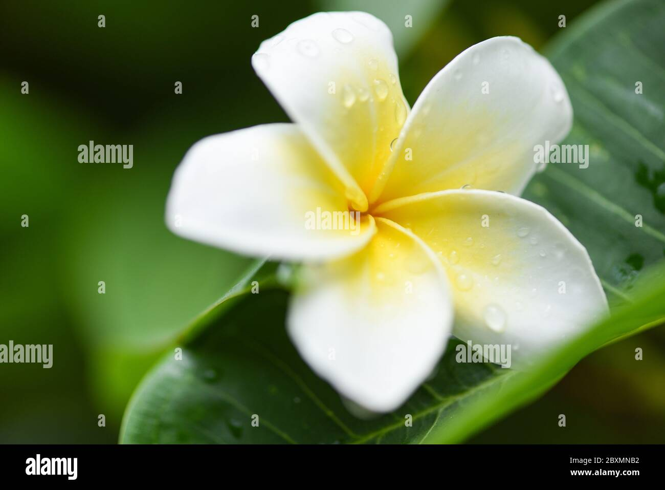 Plumeria Flowers With Drop Water On Green Leaf Other Names Frangipani White Plumeria Temple Tree Graveyard Tree Stock Photo Alamy,What Color To Paint Exposed Basement Ceiling