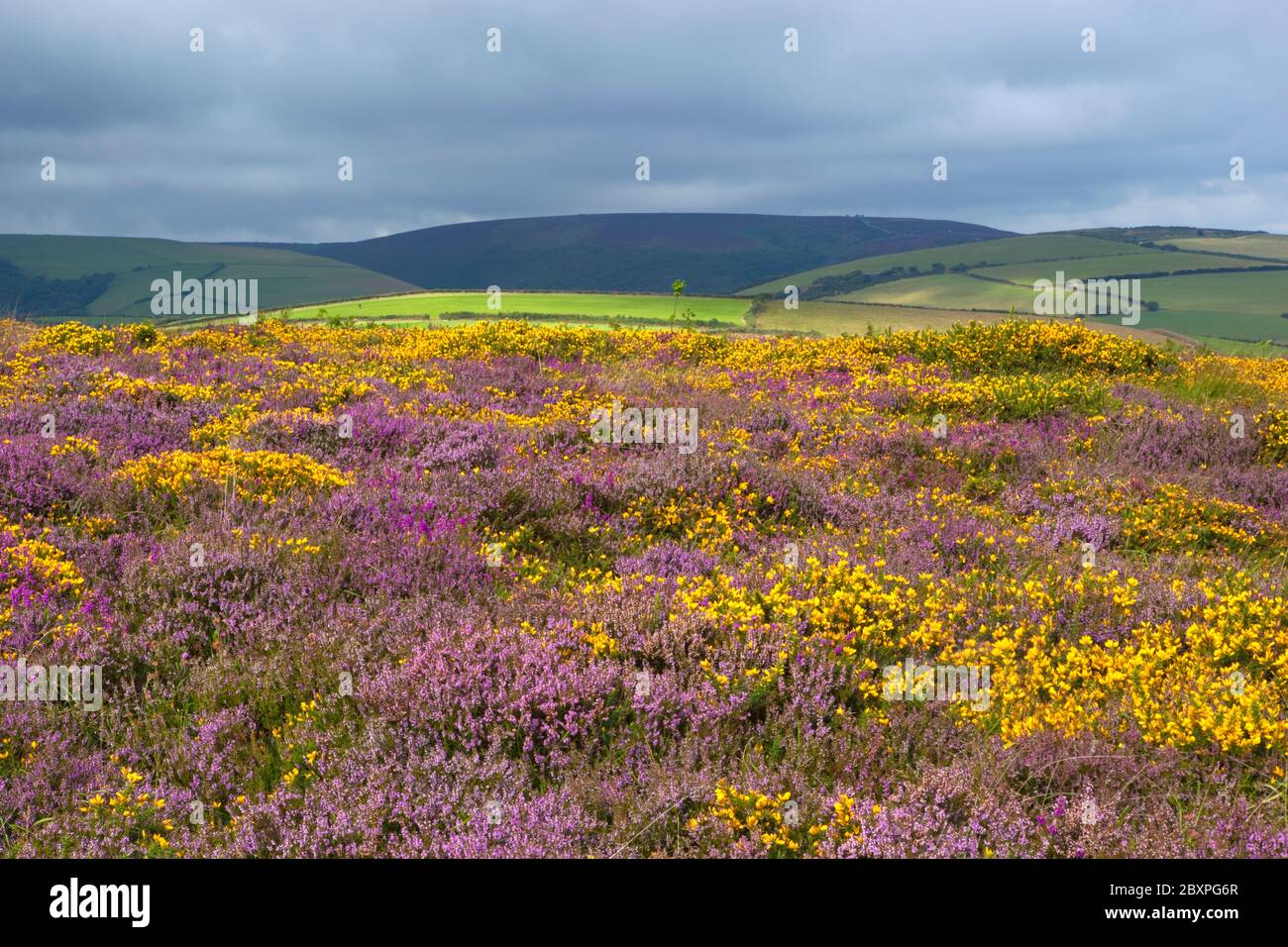 View over Heather and Gorse on Exmoor, Somerset, England, United Kingdom Stock Photo