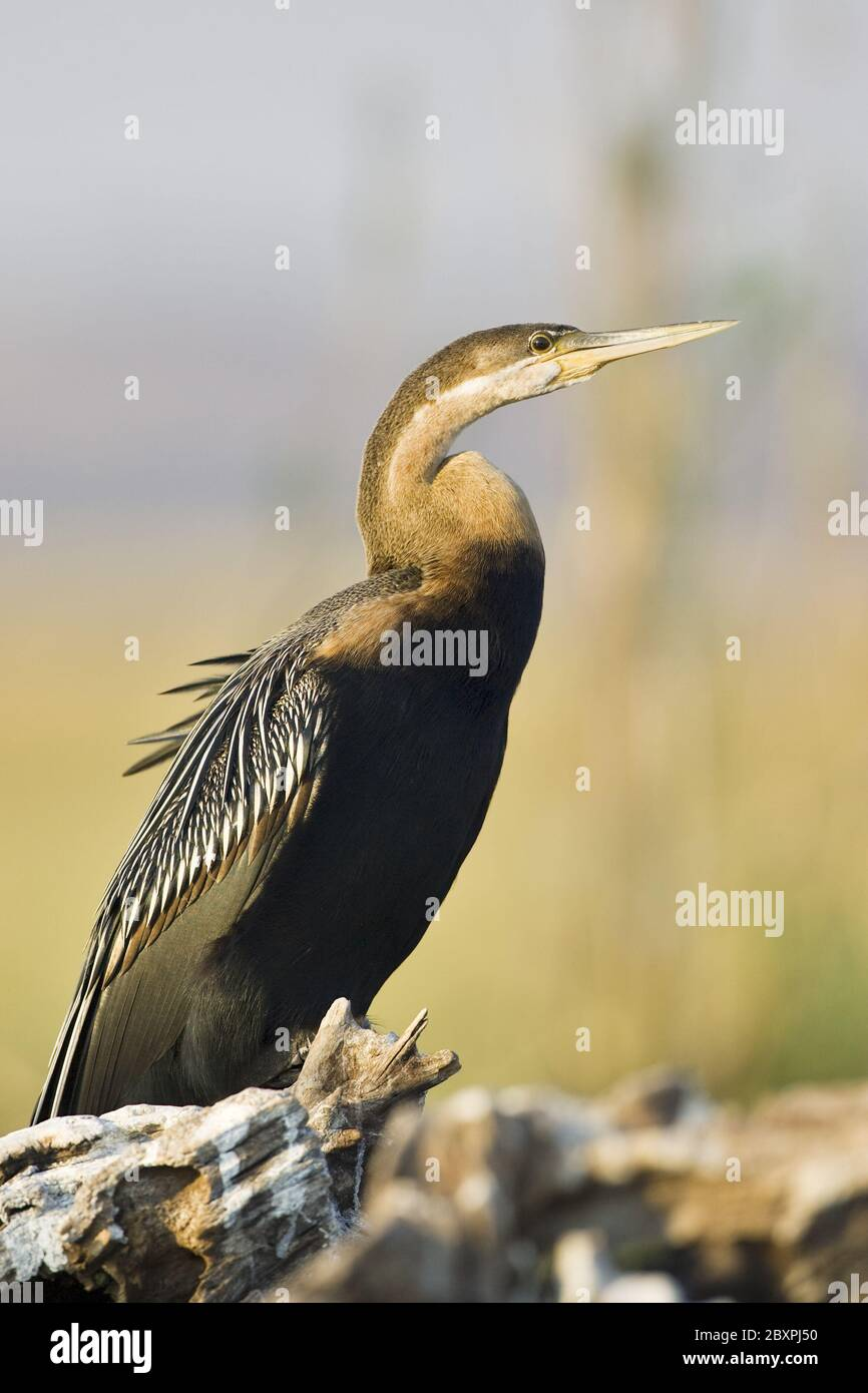 African Darter, Snakebird, (Anhinga melanogaster rufa), Chobe NP, Africa Stock Photo