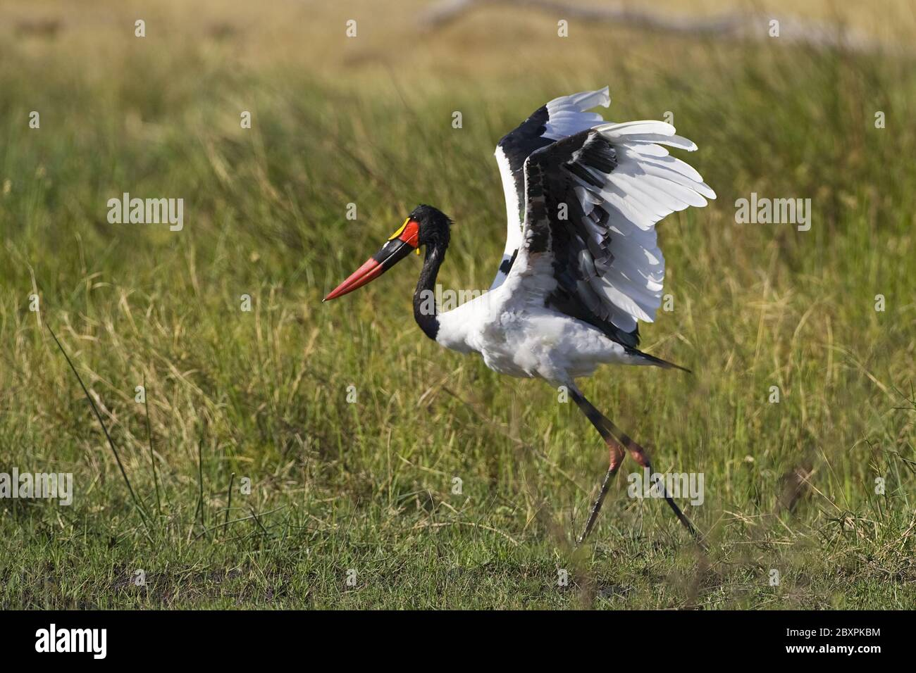 Saddle-billed Stork, (Ephippiorhynchus senegalensis), Africa Stock Photo