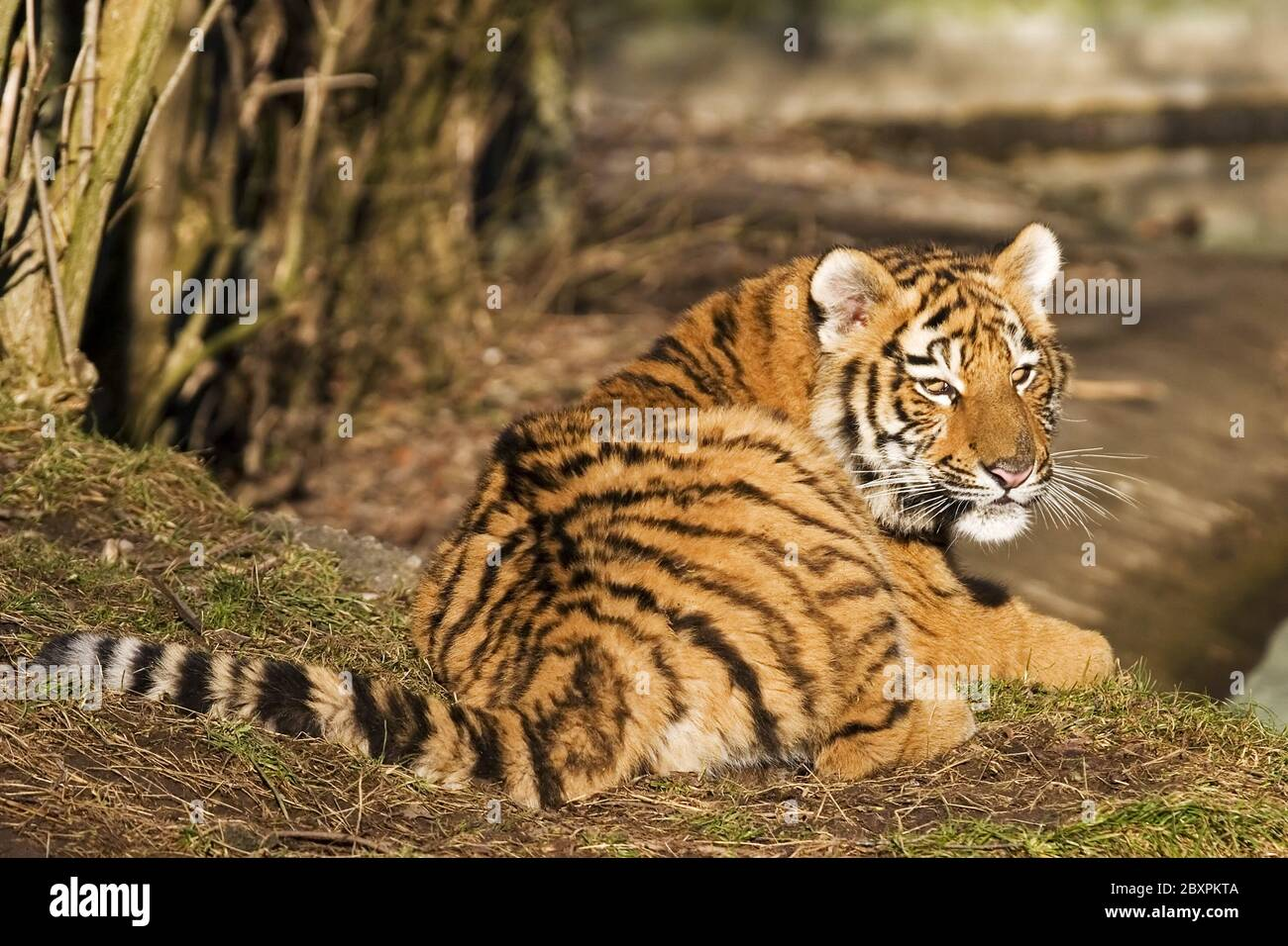 Sibirian Tiger (Panthera tigris altaica) captive Stock Photo
