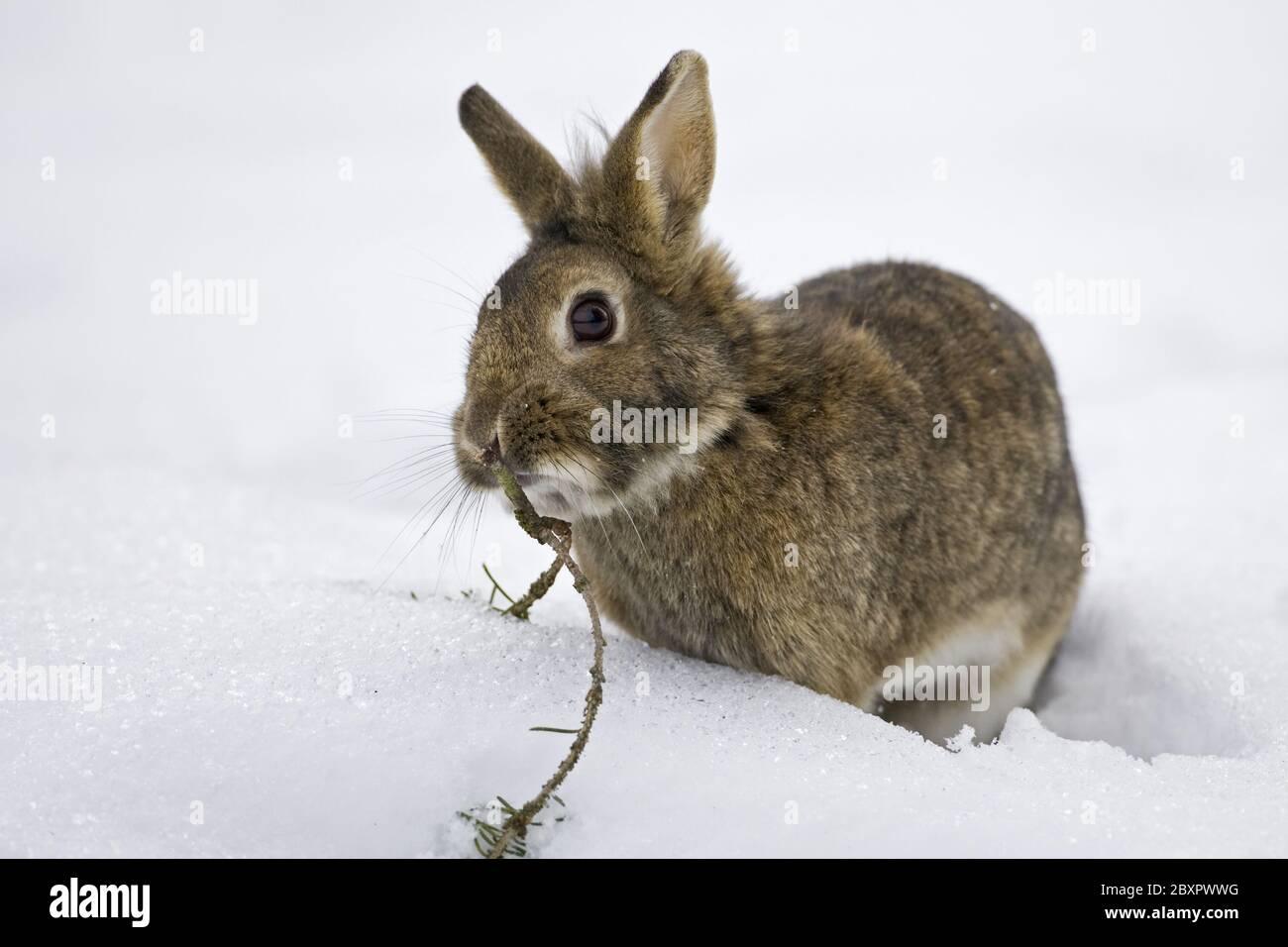 domestic rabbit in winter Stock Photo